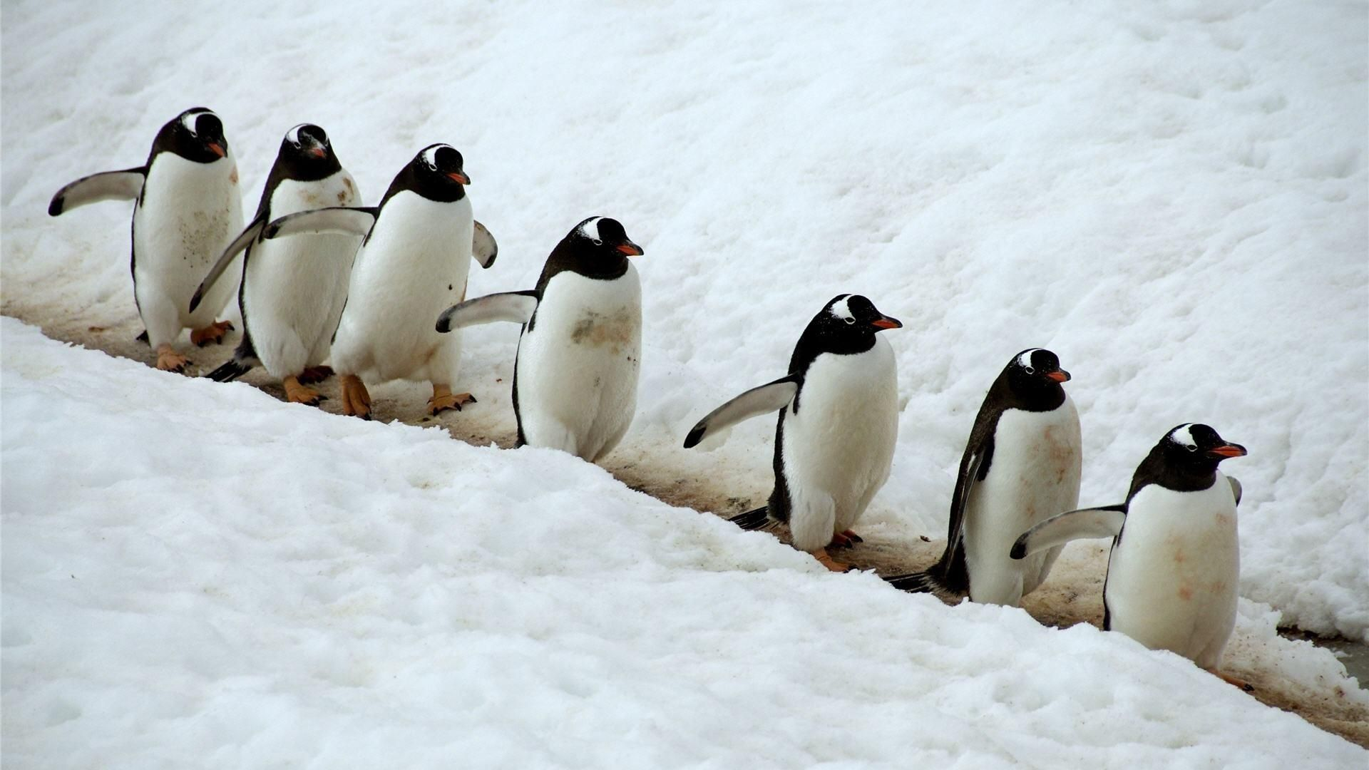 pitures of penguins