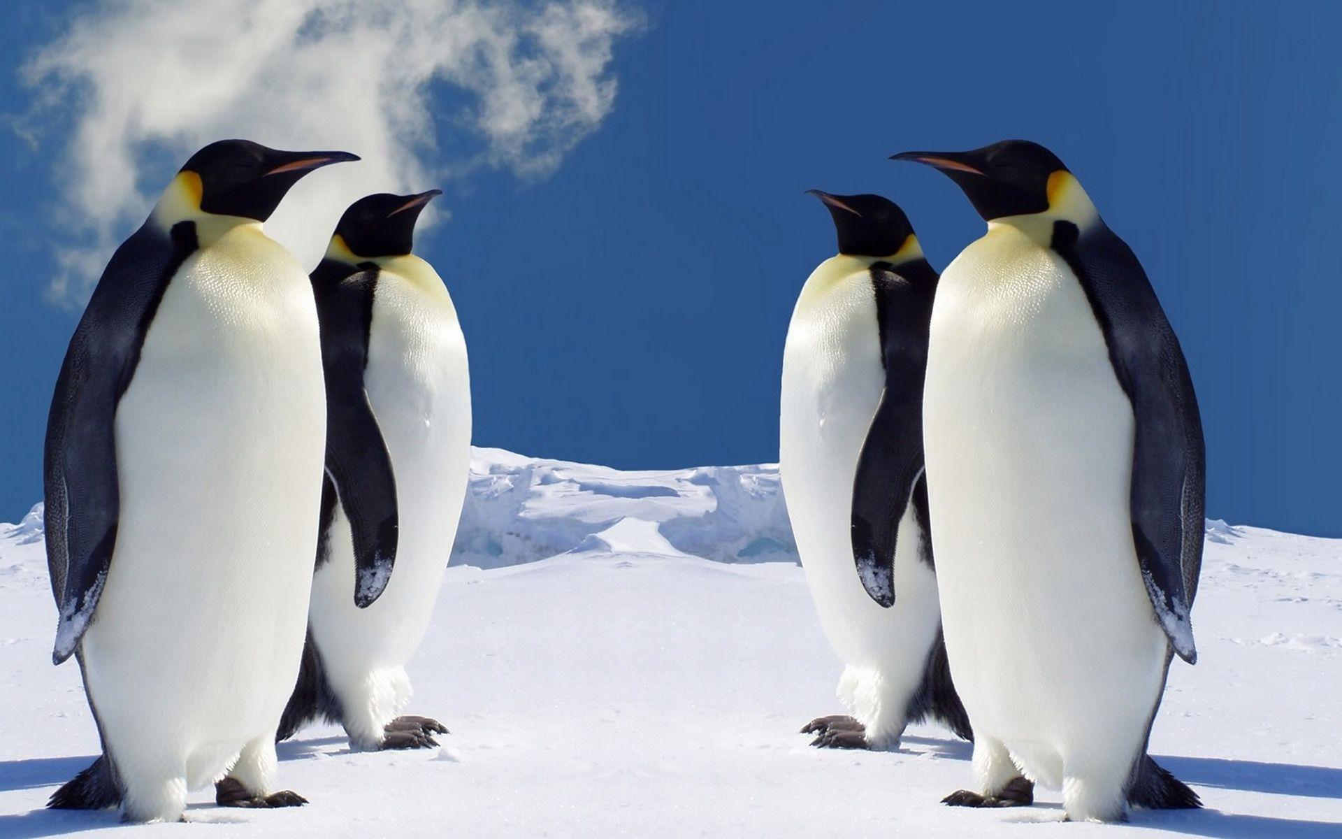 penguin stock wallpapers