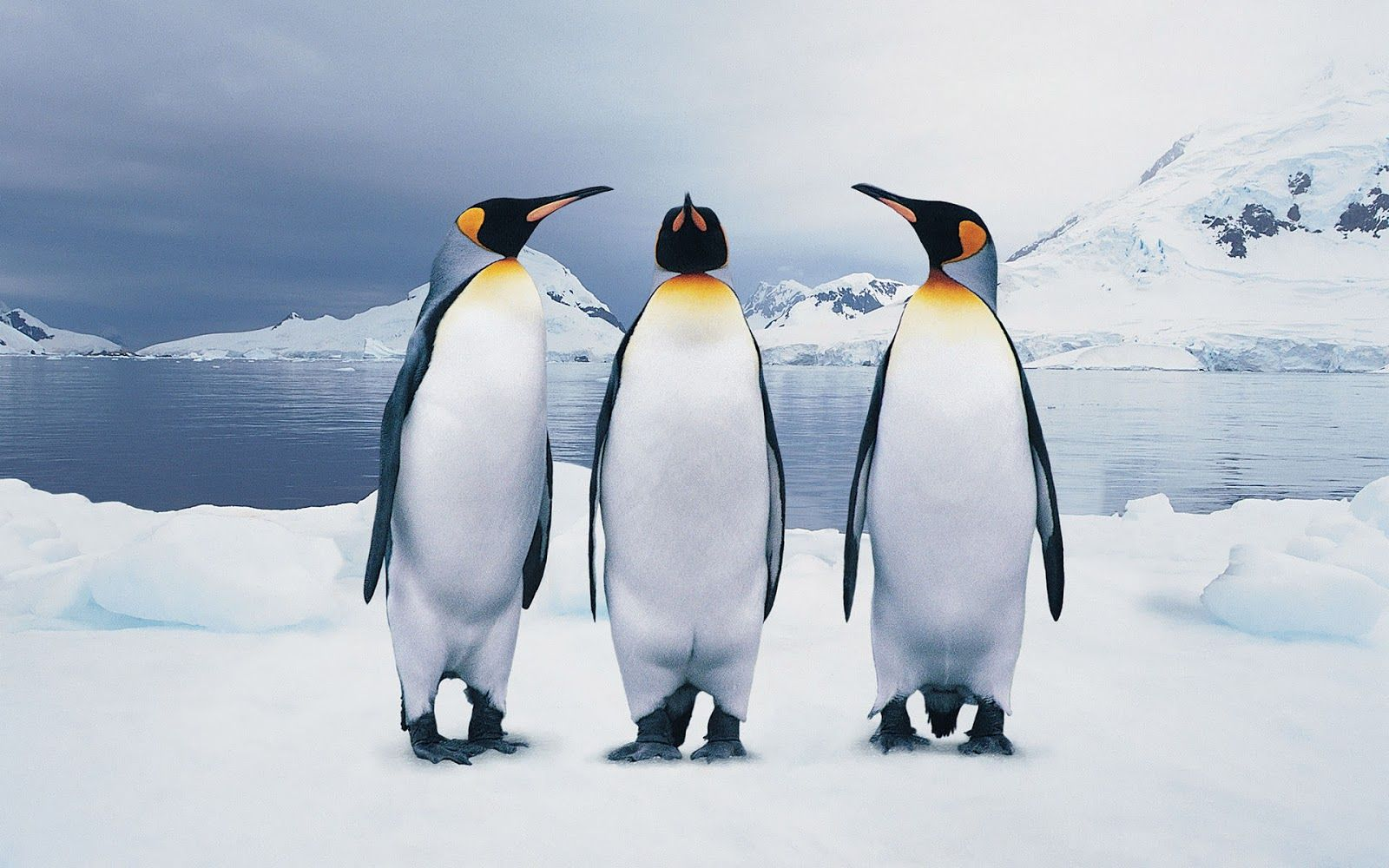 pictures of the penguin