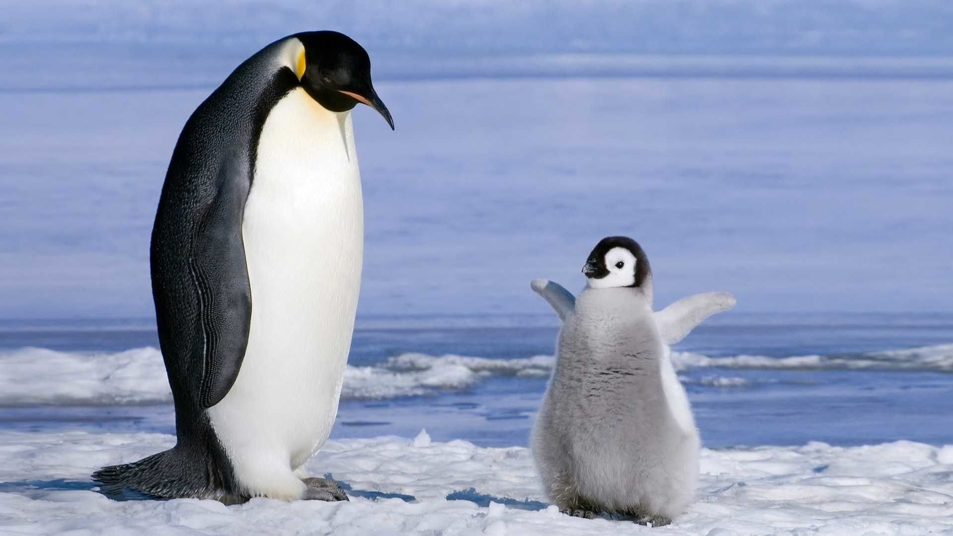 penguin desktop wallpaper