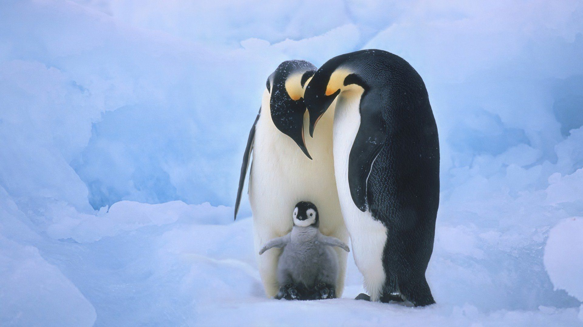 penguin wallpaper hd