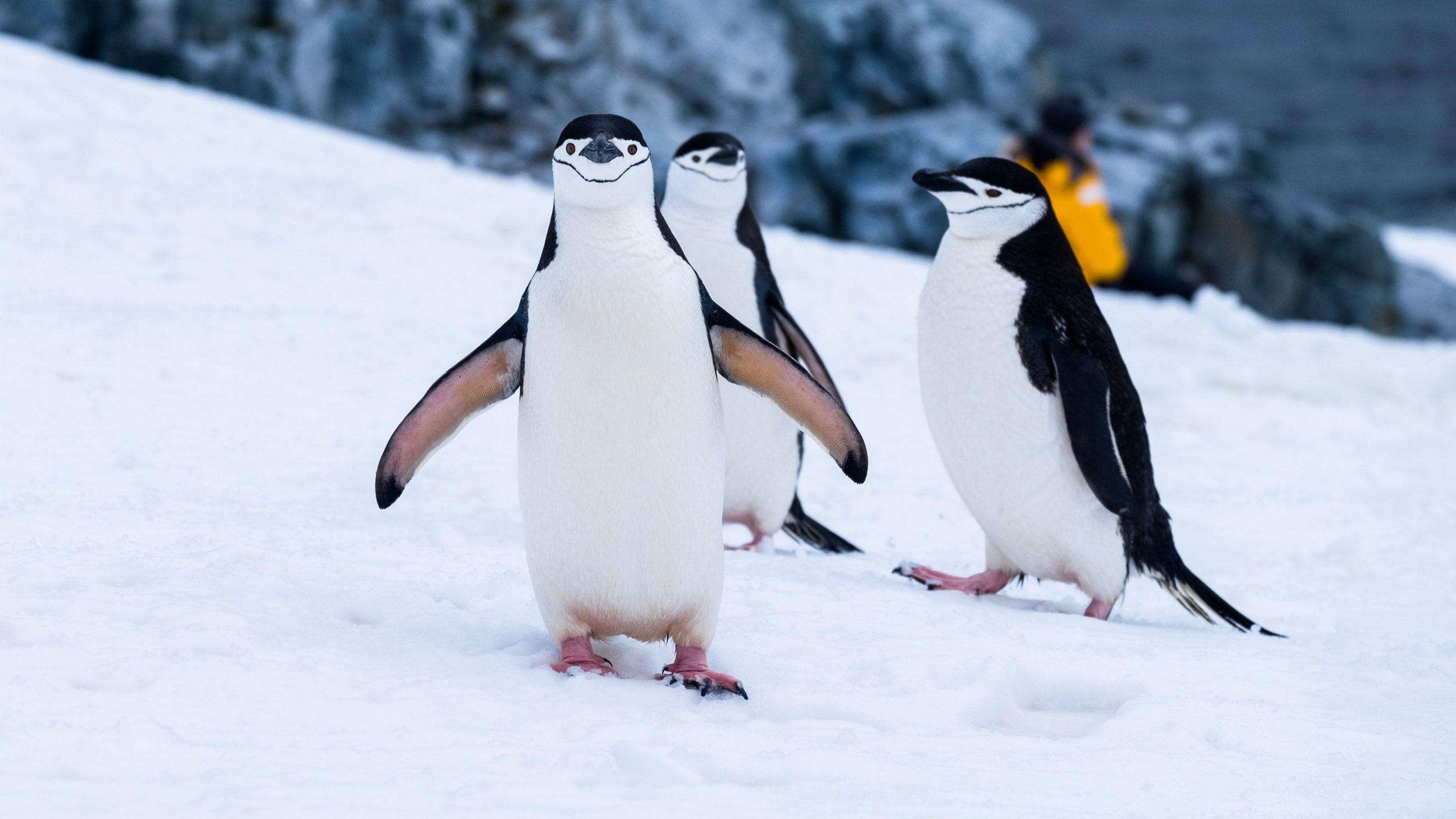 penguins desktop backgrounds