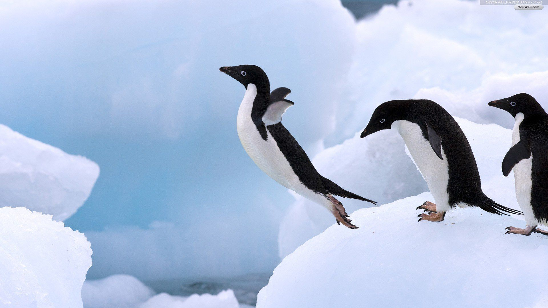 images of penguins hd