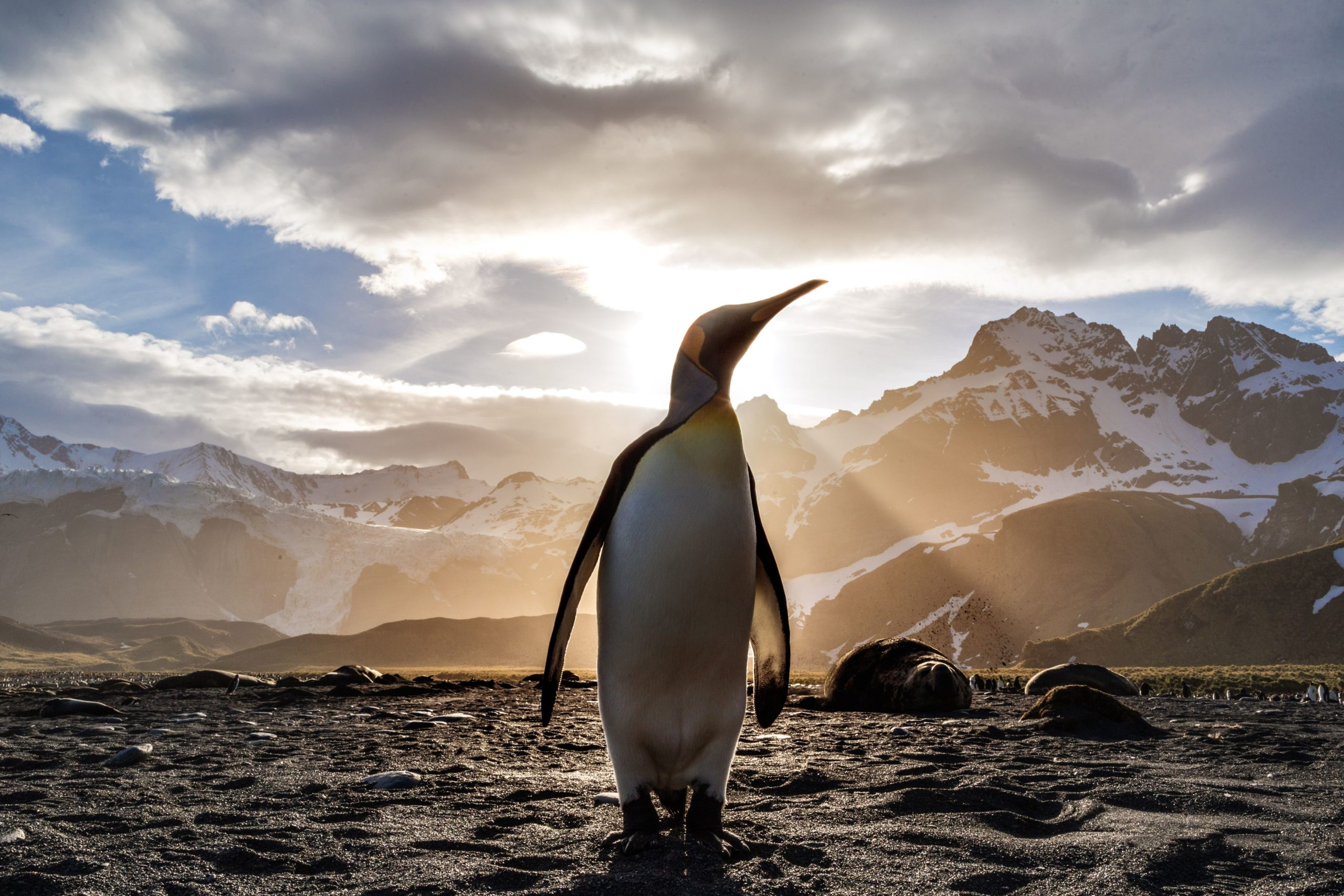 king penguin pictures