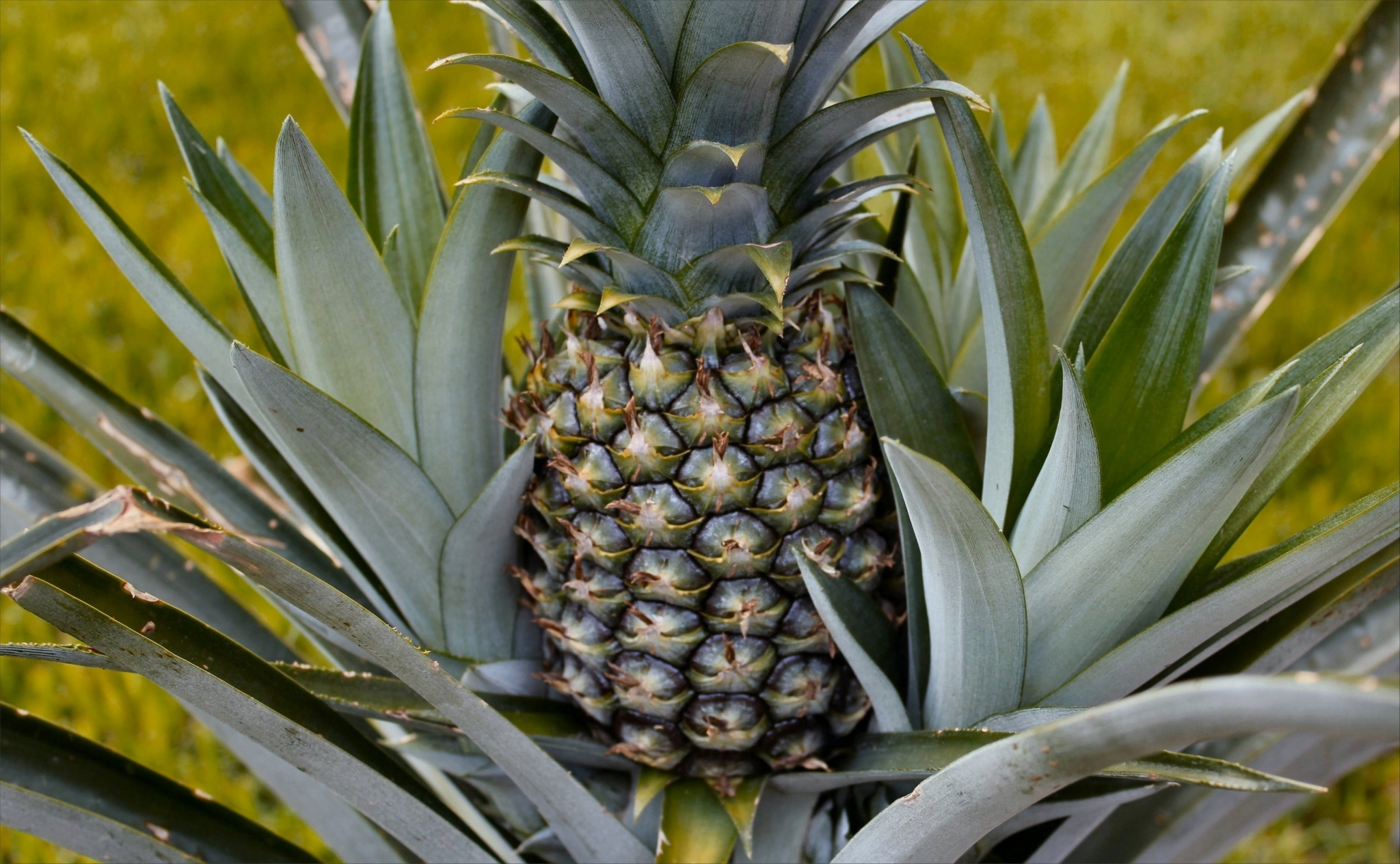 pineapple wallpaper andriod