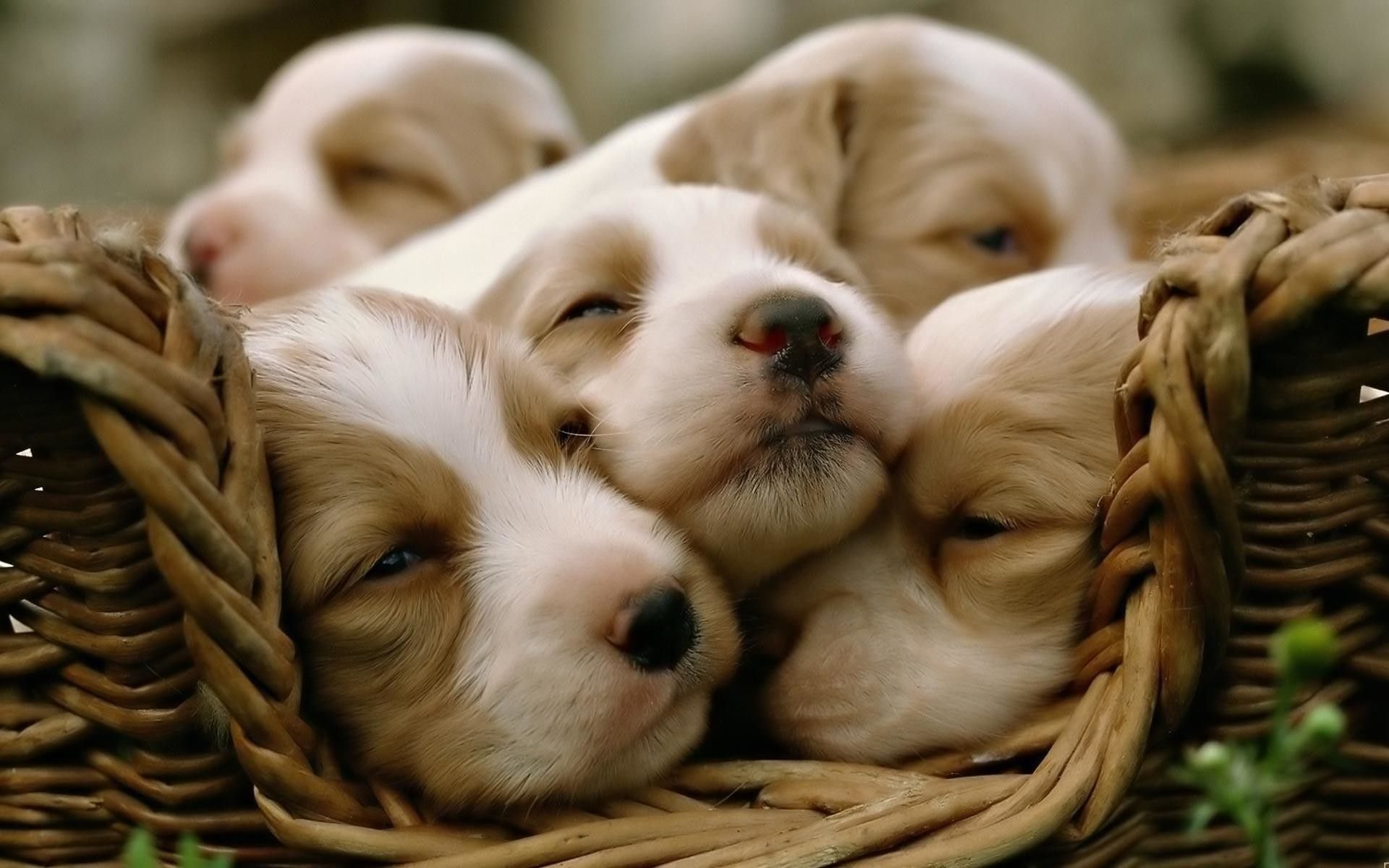 baby puppy wallpapers