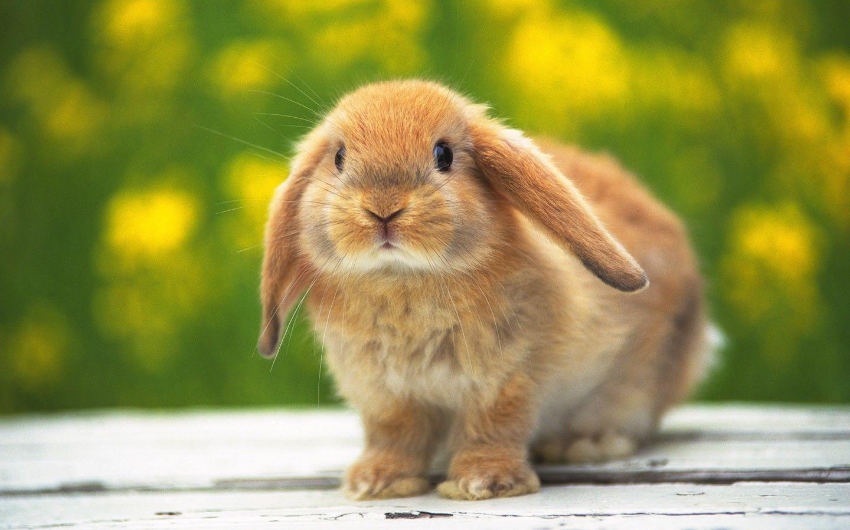 cute rabbit images hd