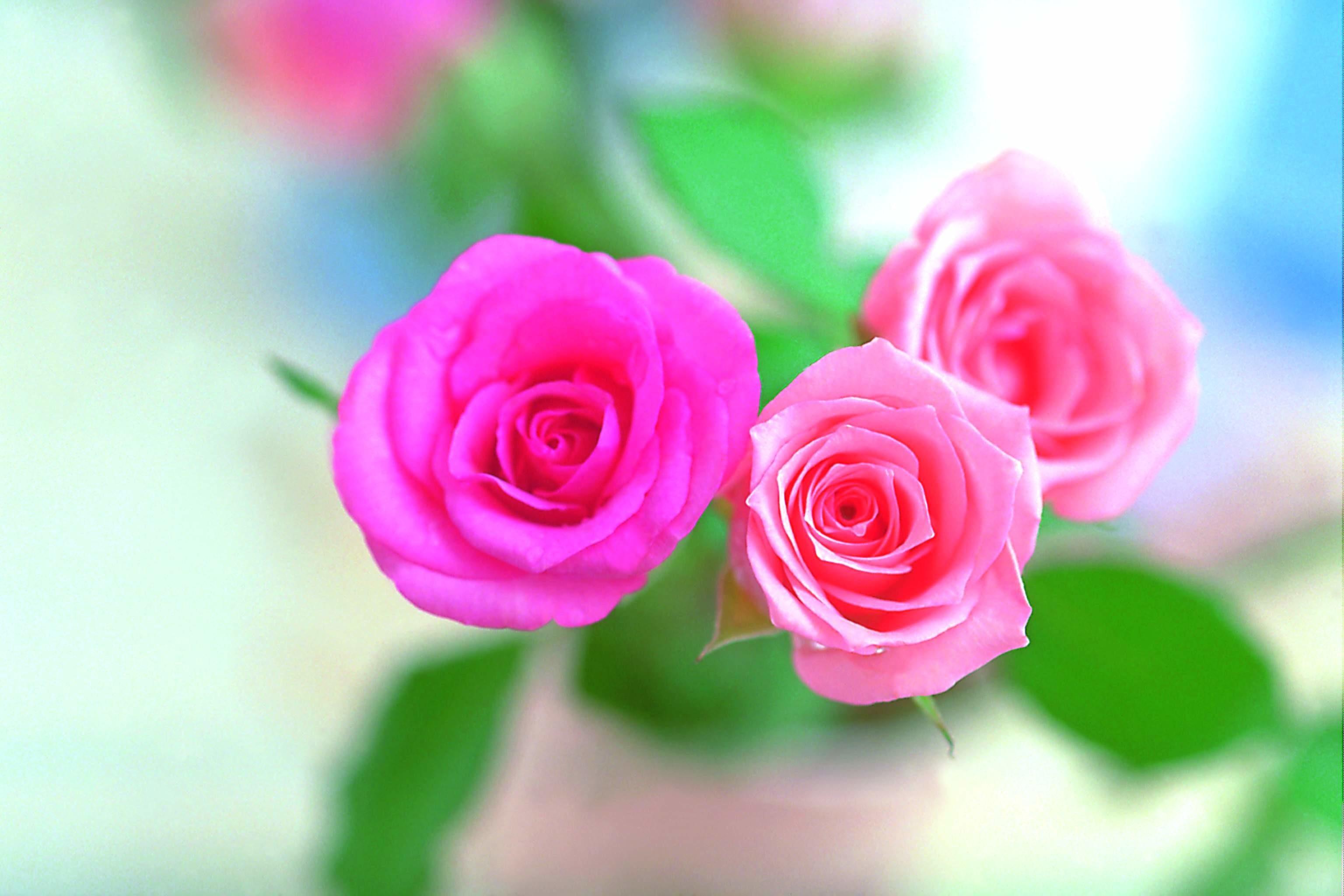 roses wallpaper images