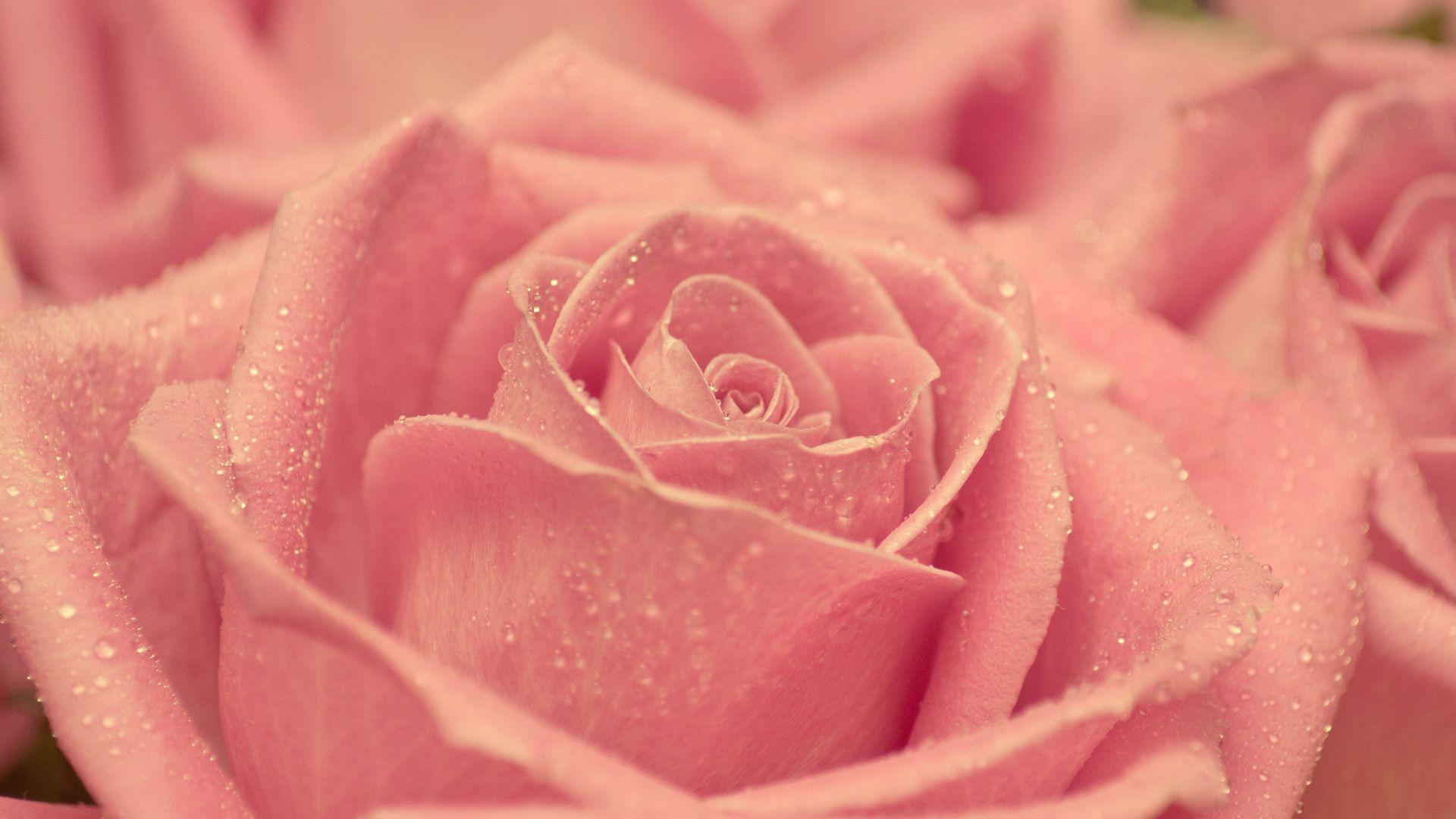 free wallpaper roses