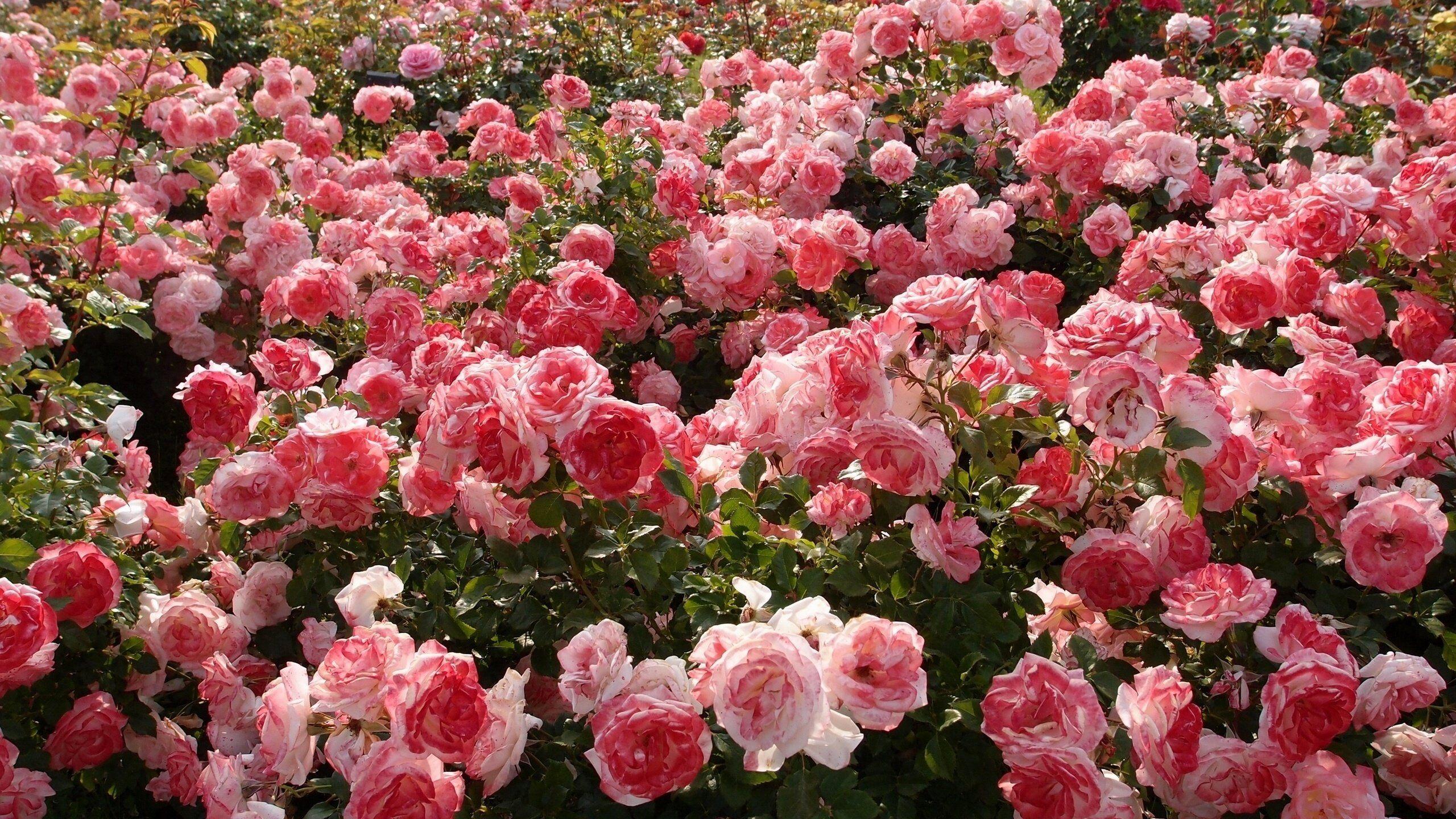 roses wallpaper free