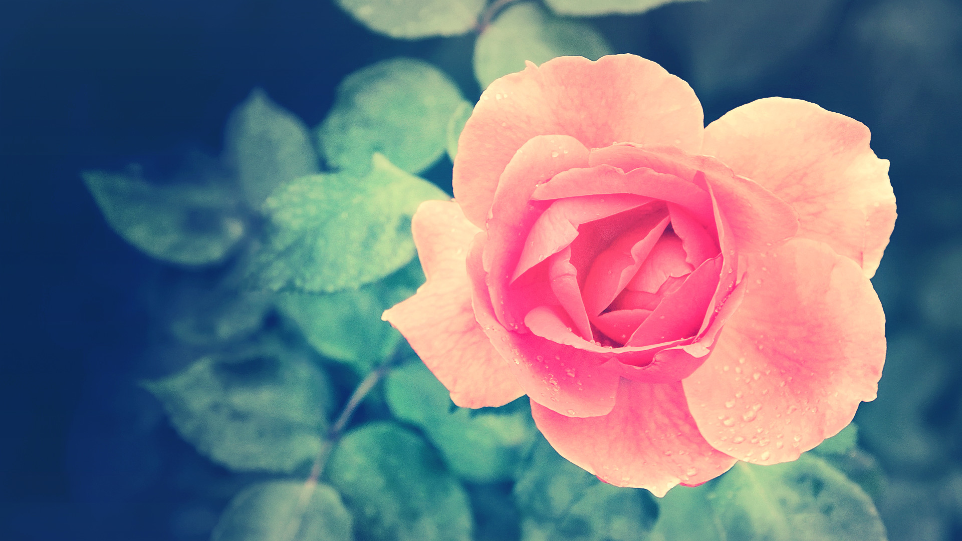 pink roses desktop wallpaper