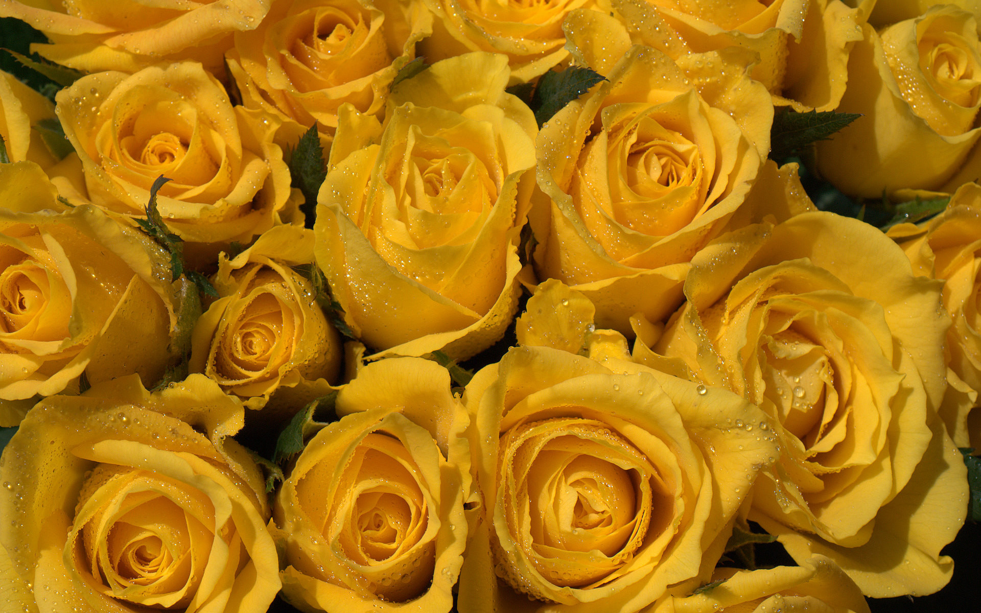 yellow rose screensavers