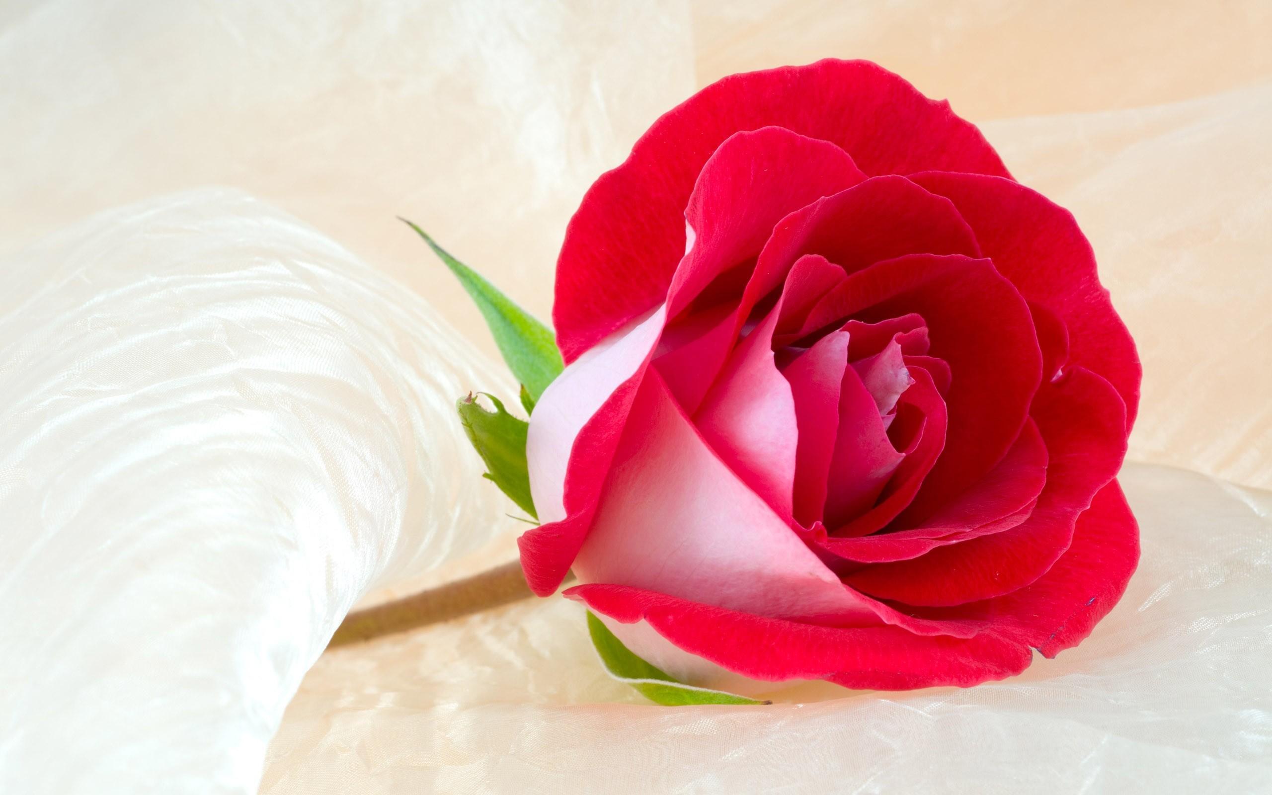 rose background images
