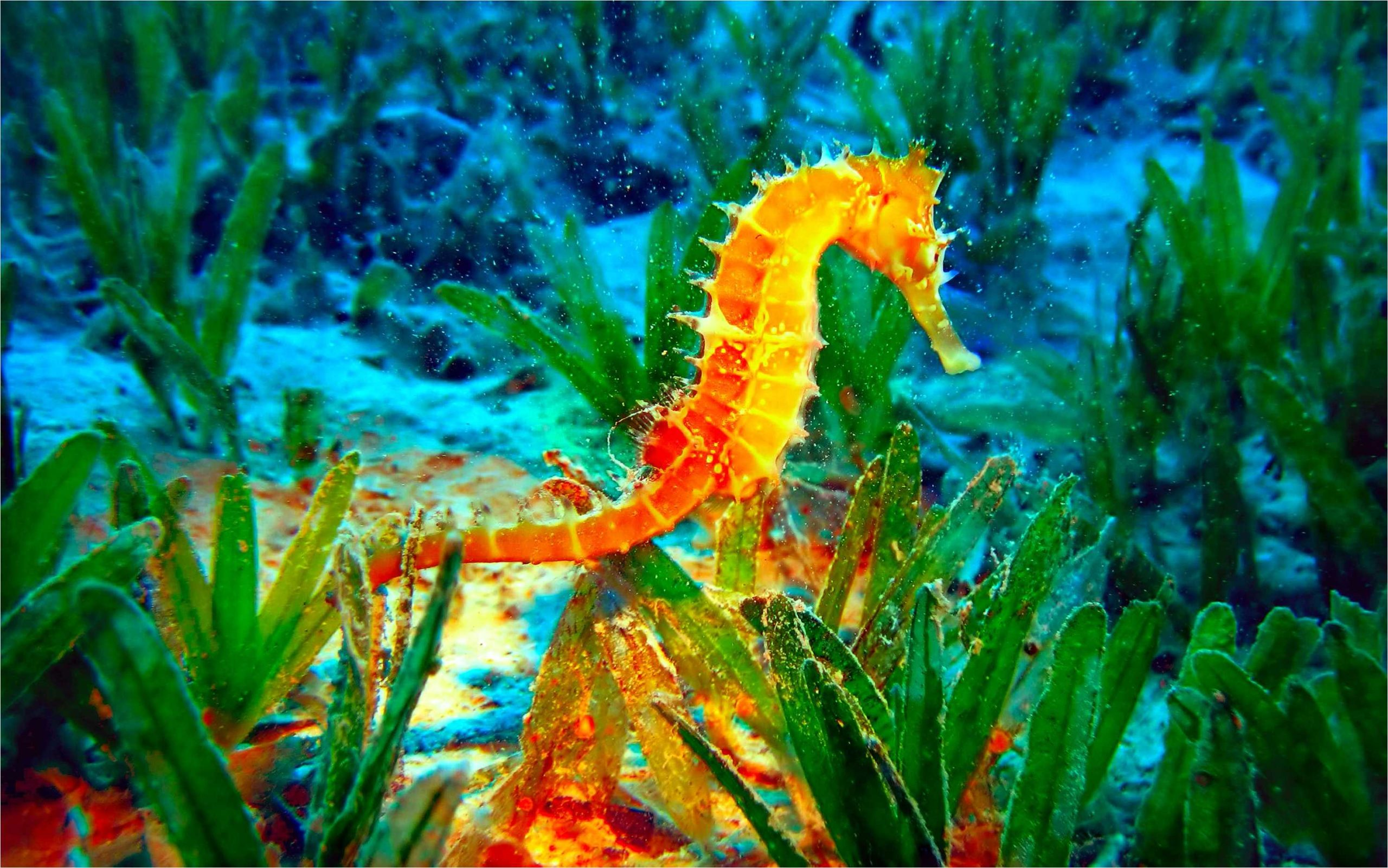 seahorse pictures