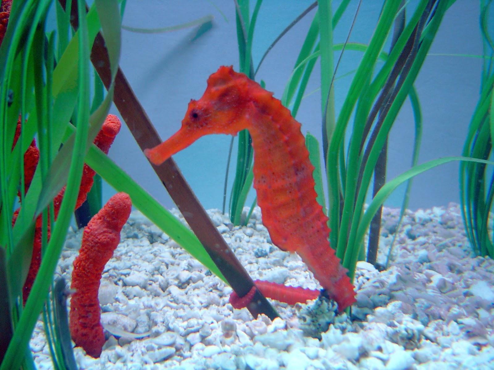 seahorse a mammal