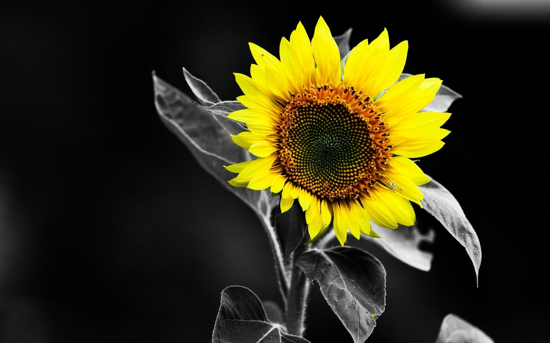 sunflower desktop backgrounds