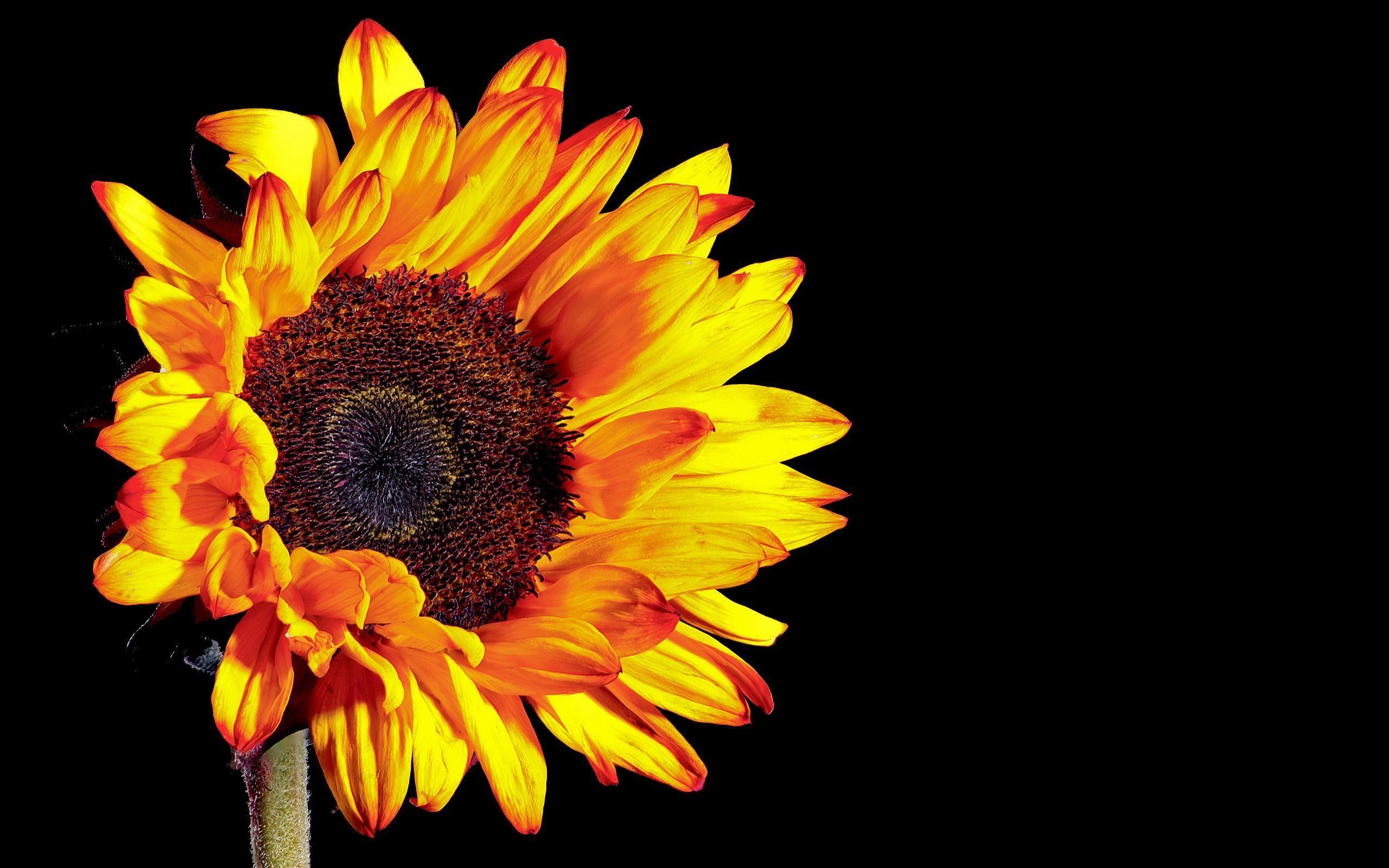sunflower computer background