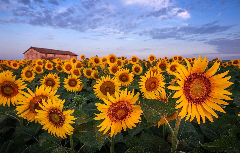 sunflower computer wallpaper