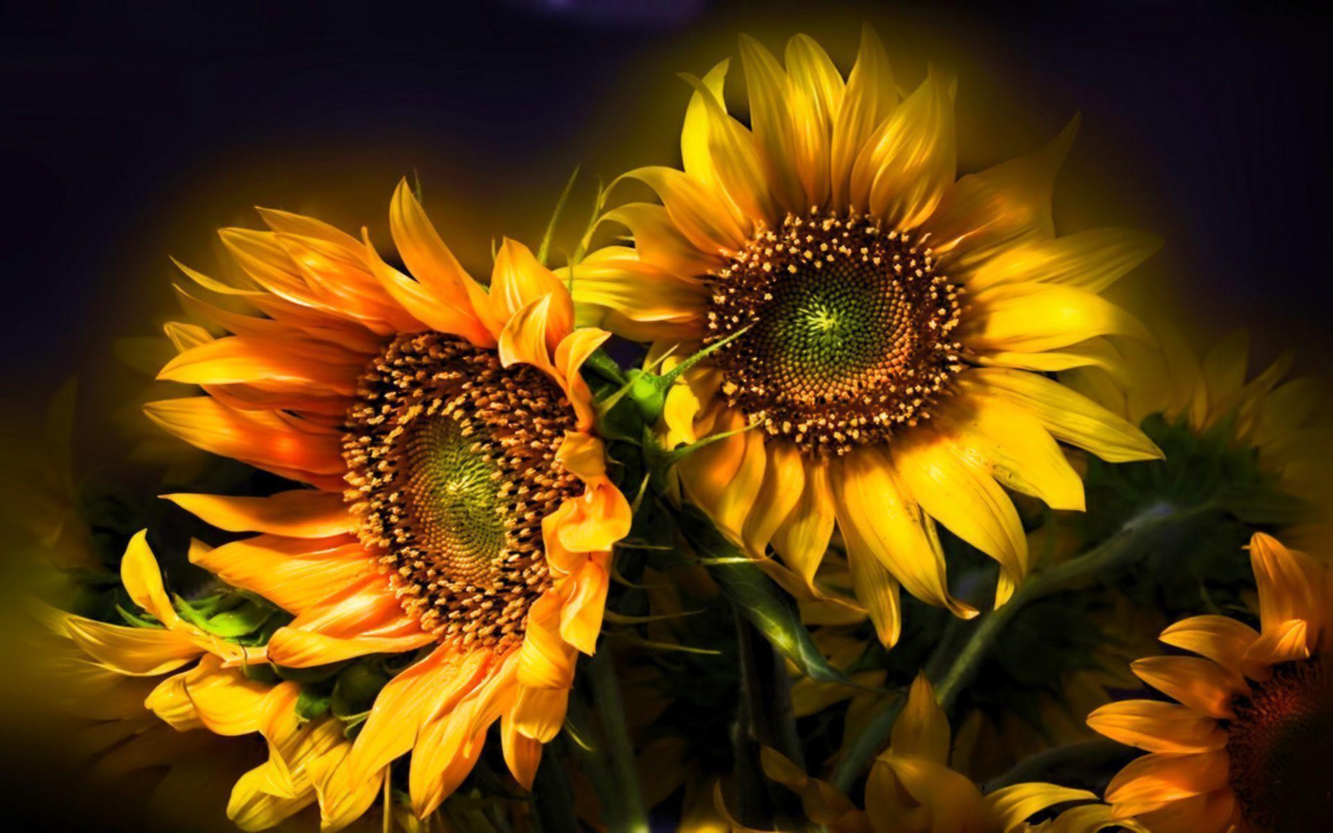 sunflower wallpaper desktop