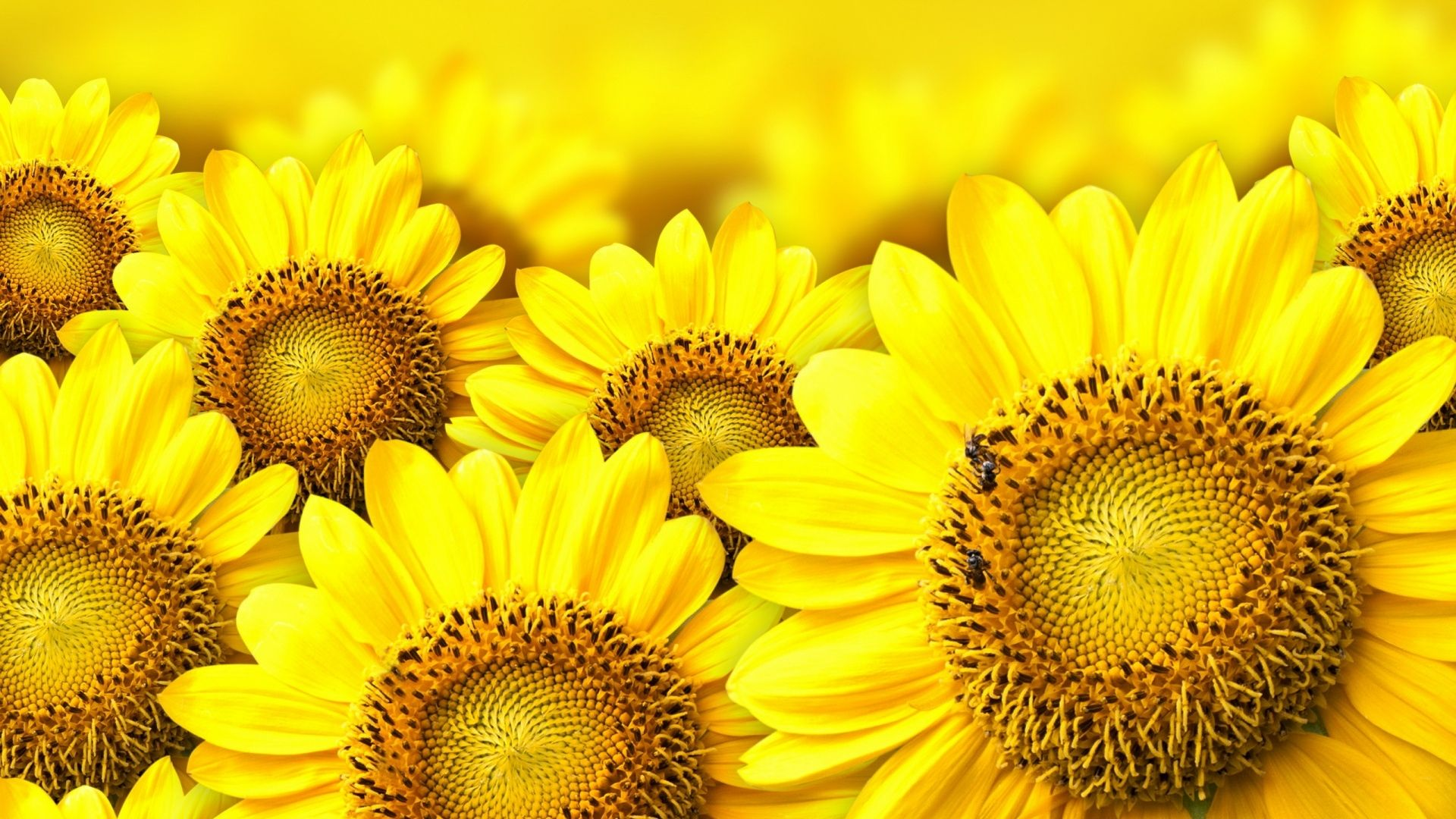 wallpapers sunflower