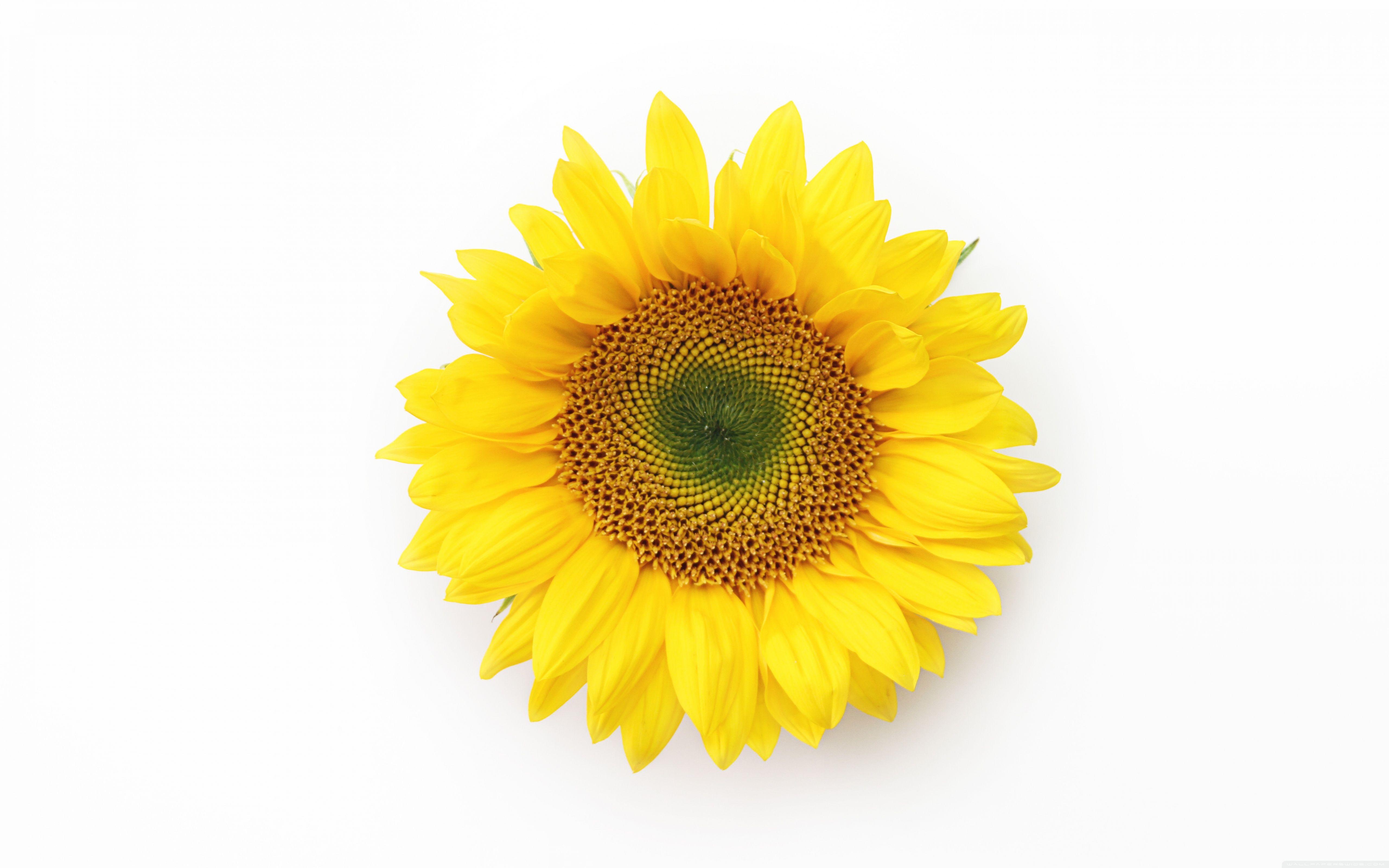 sunflower tumblr background