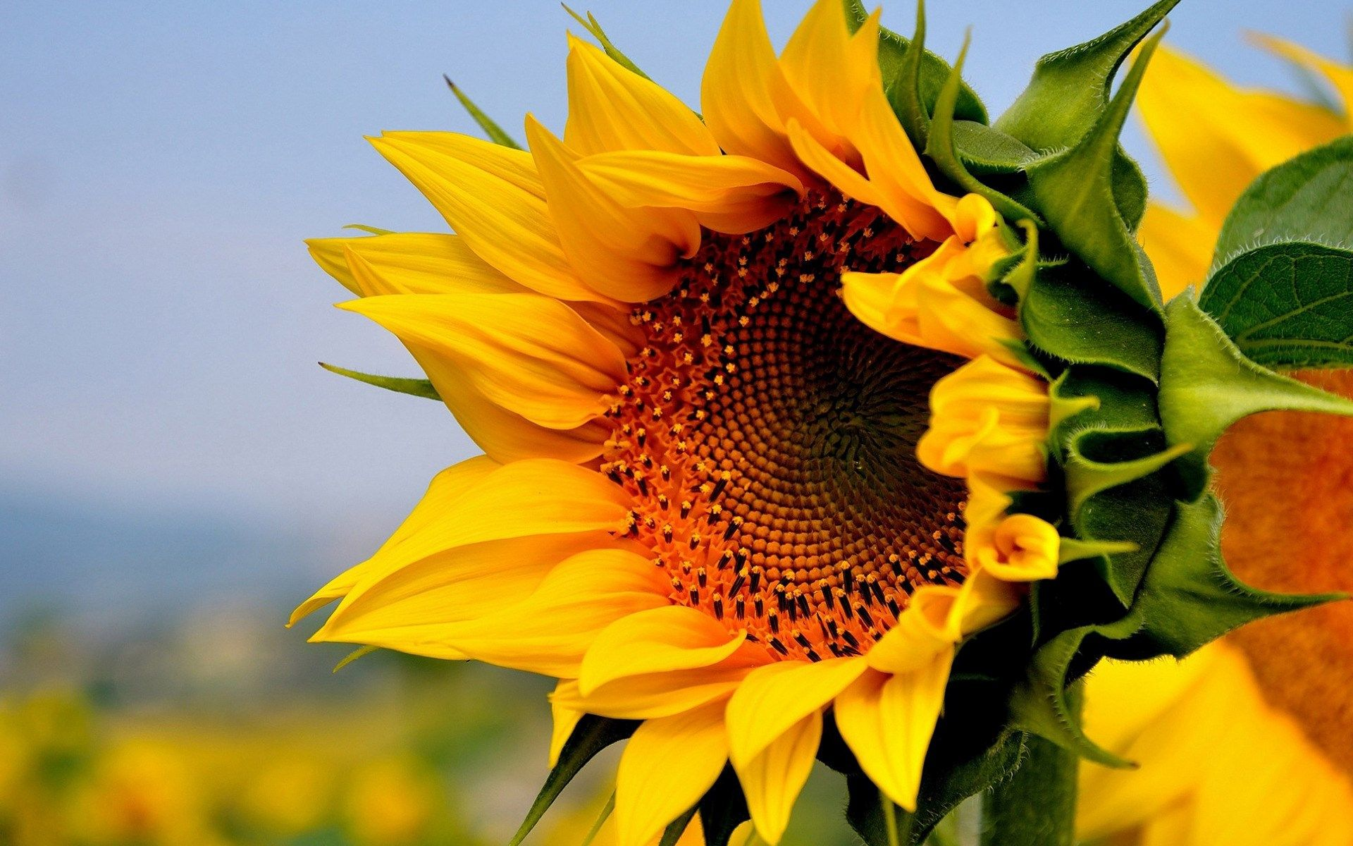 sunflower laptop wallpaper