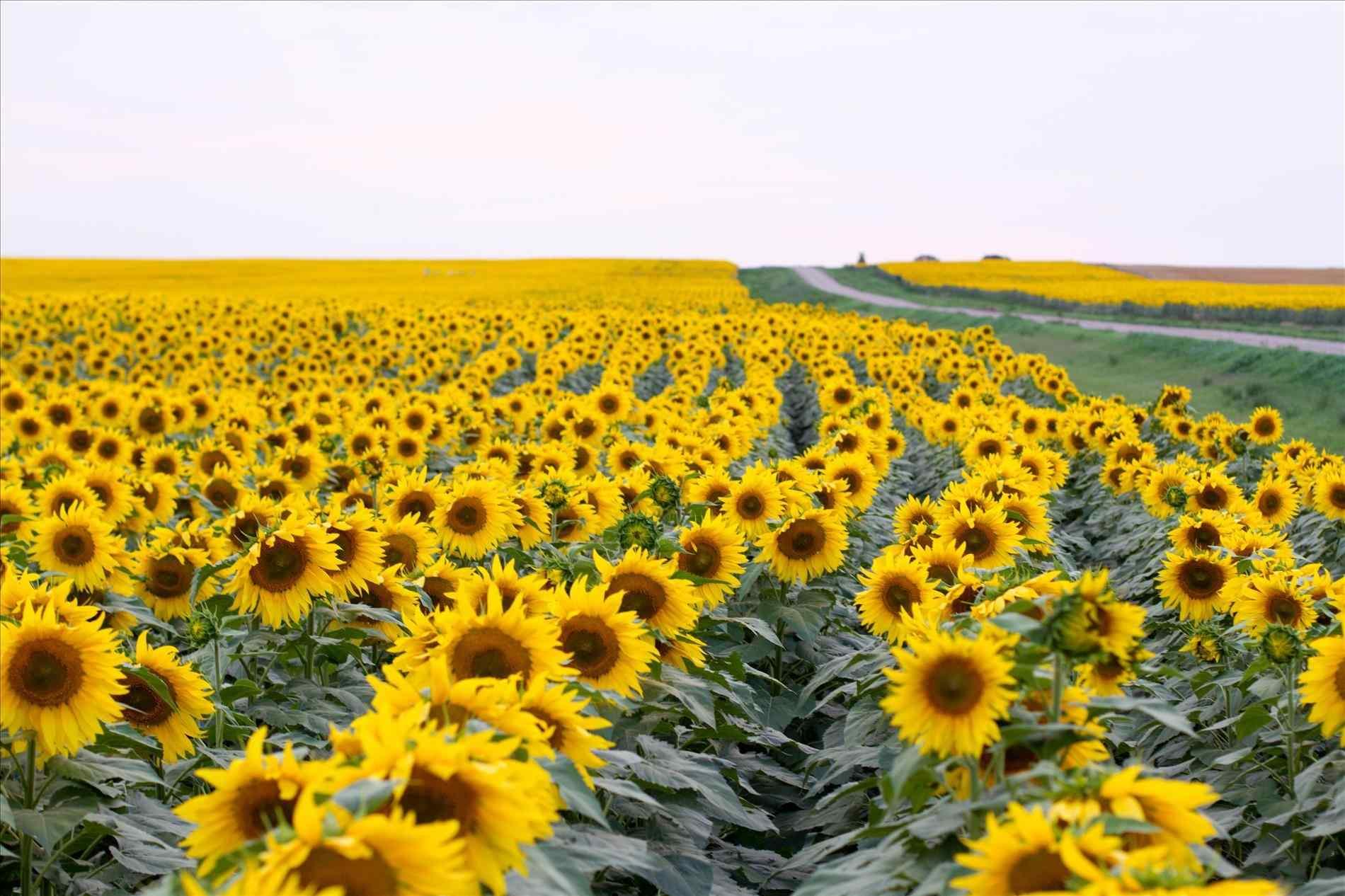 sunflower desktop wallpaper free