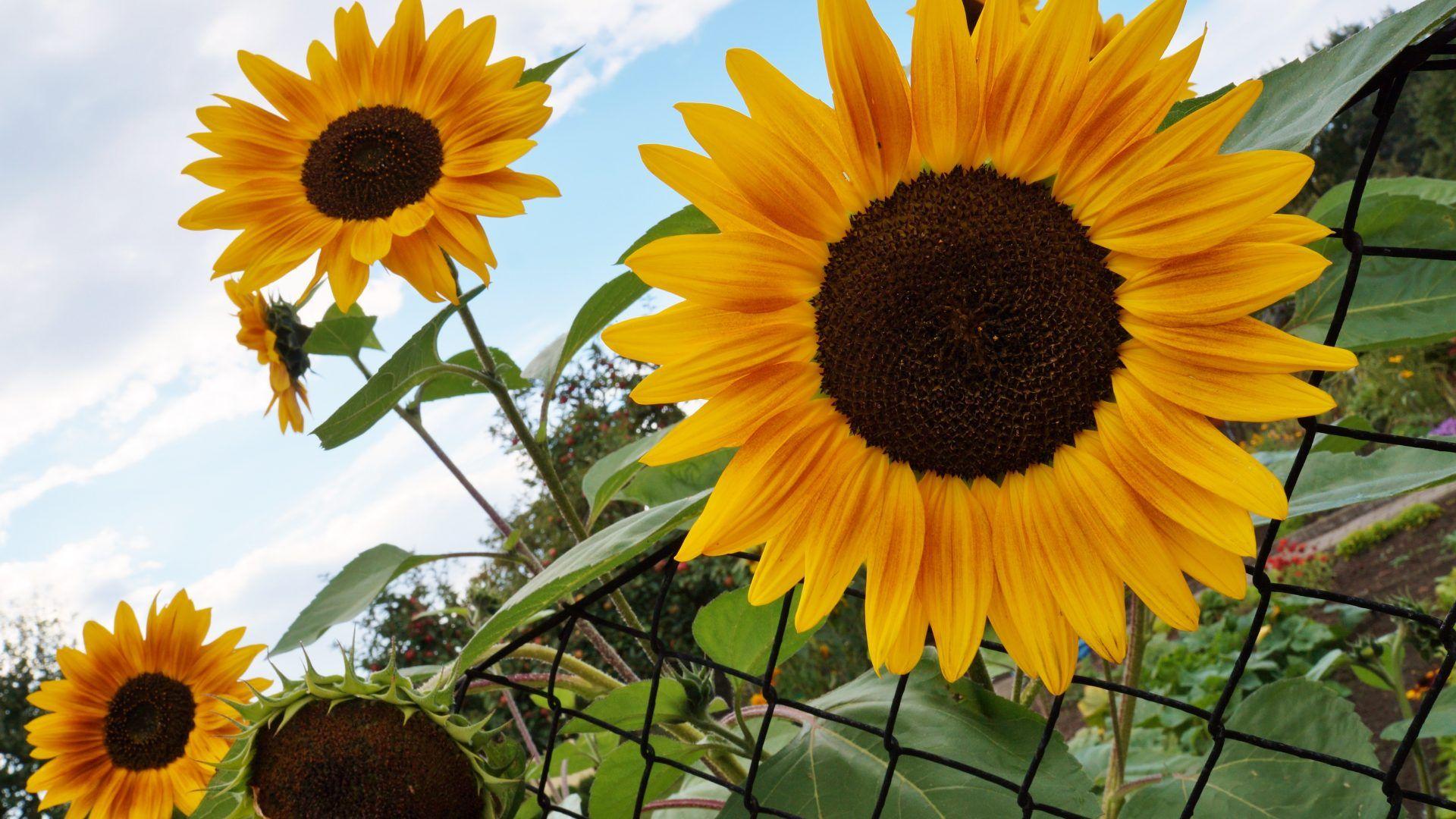 hd sunflower wallpaper