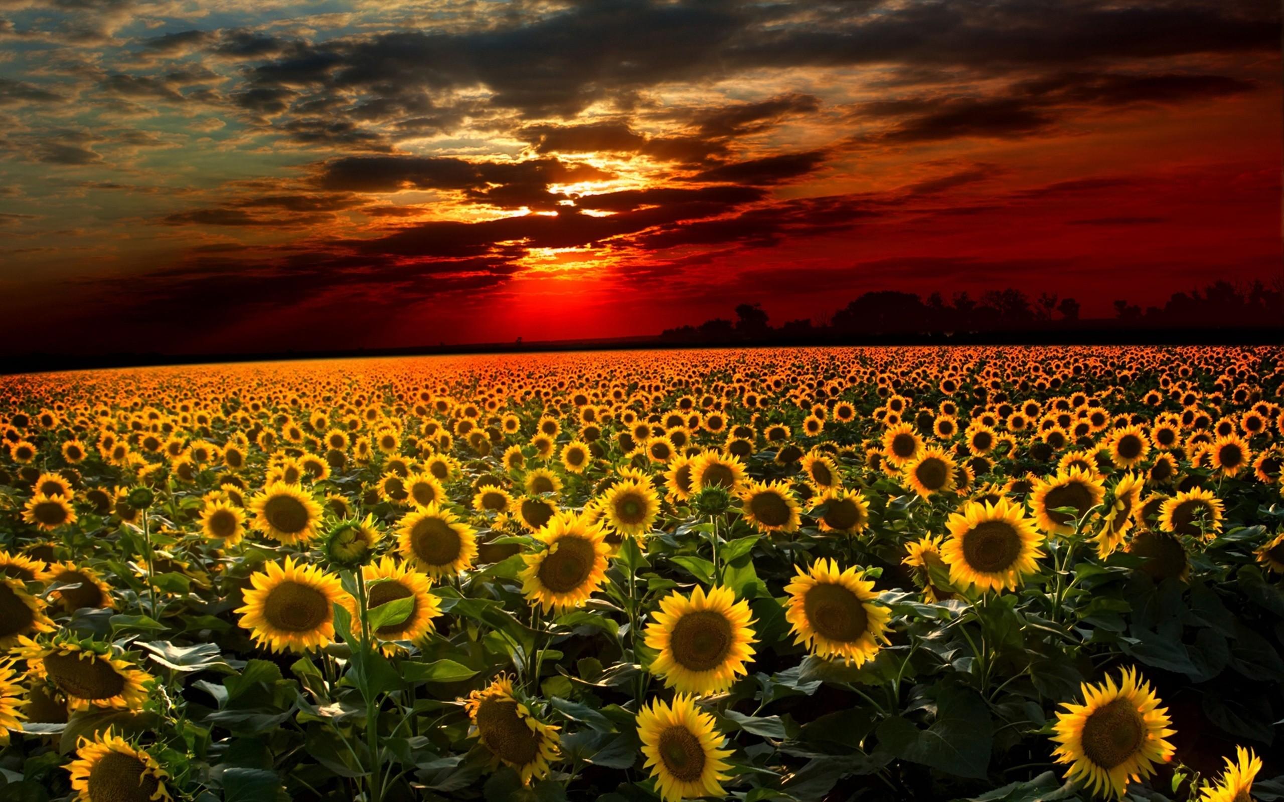 desktop backgrounds sunflowers