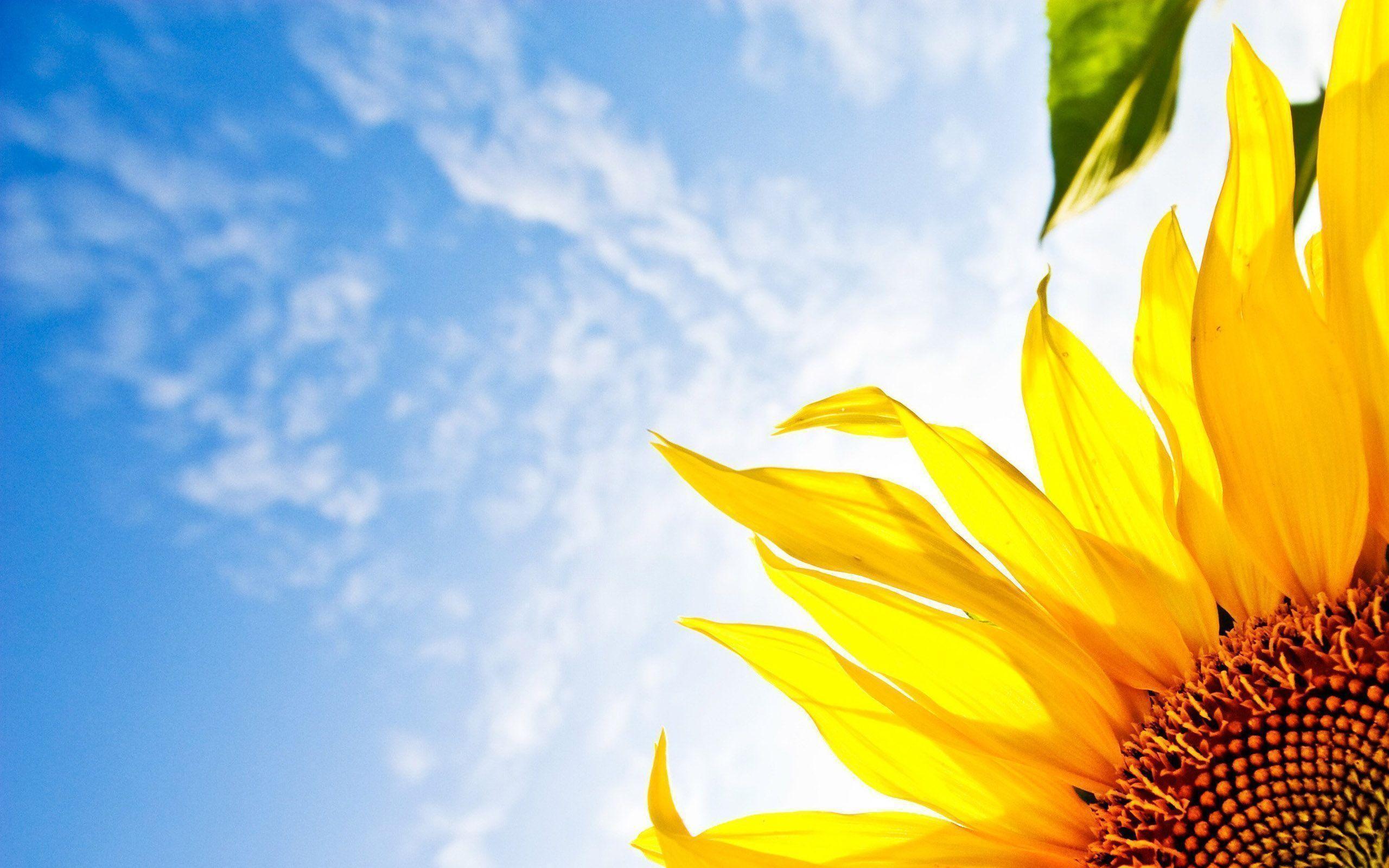 sunflower laptop background