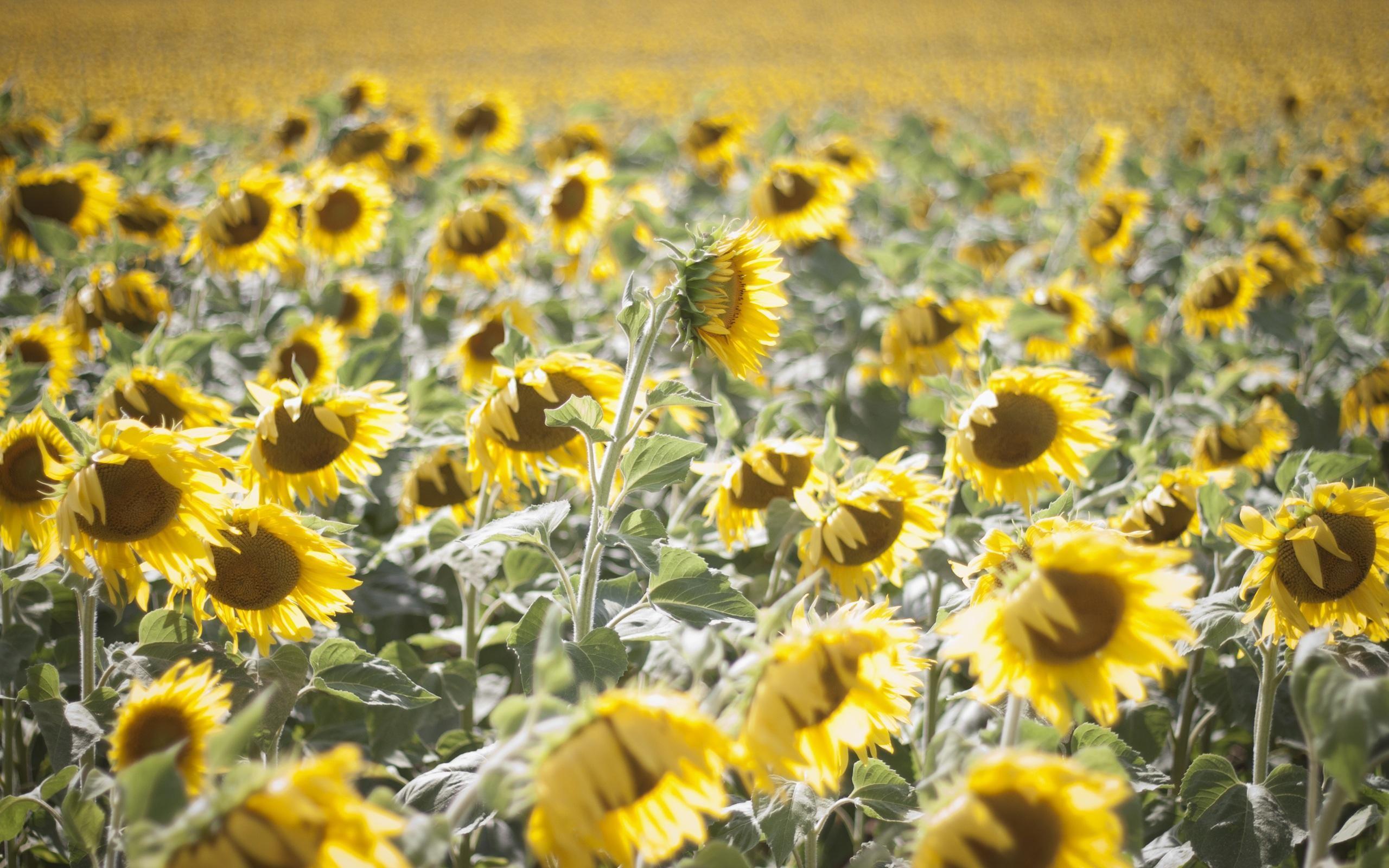 sunflower 4k