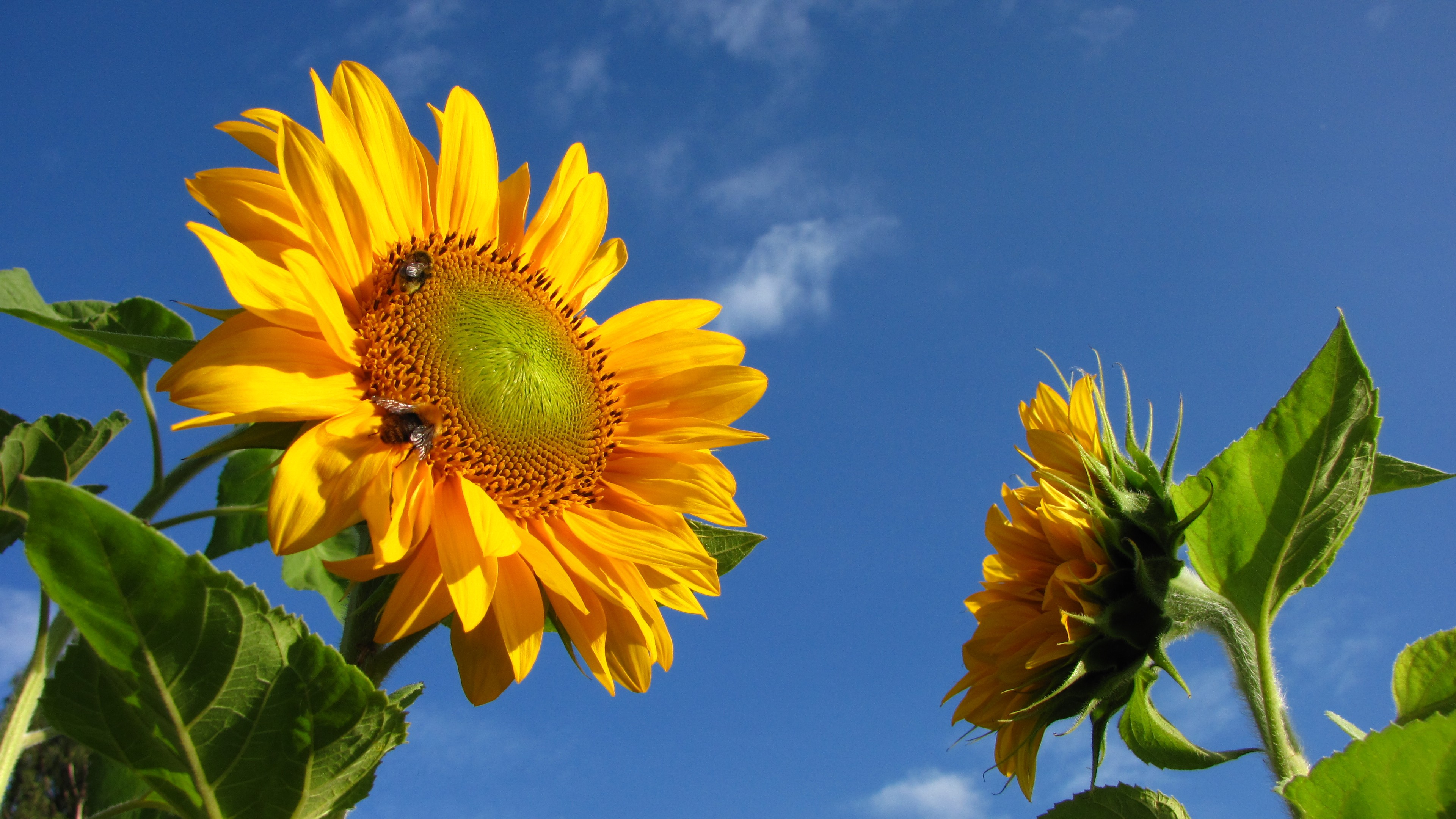 sunflower fields tumblr