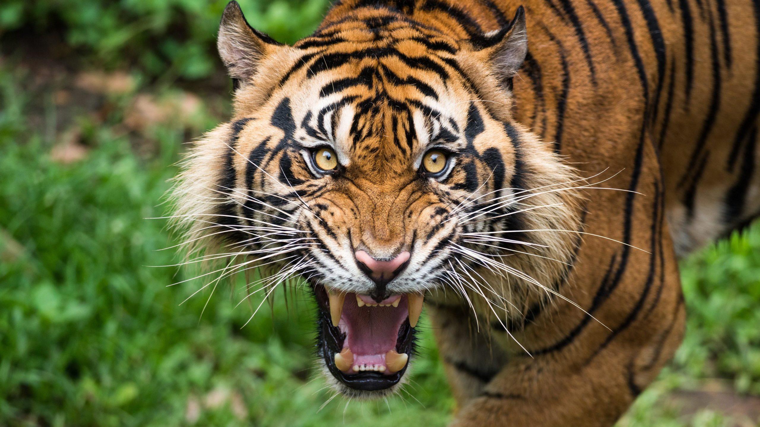 tiger images hd