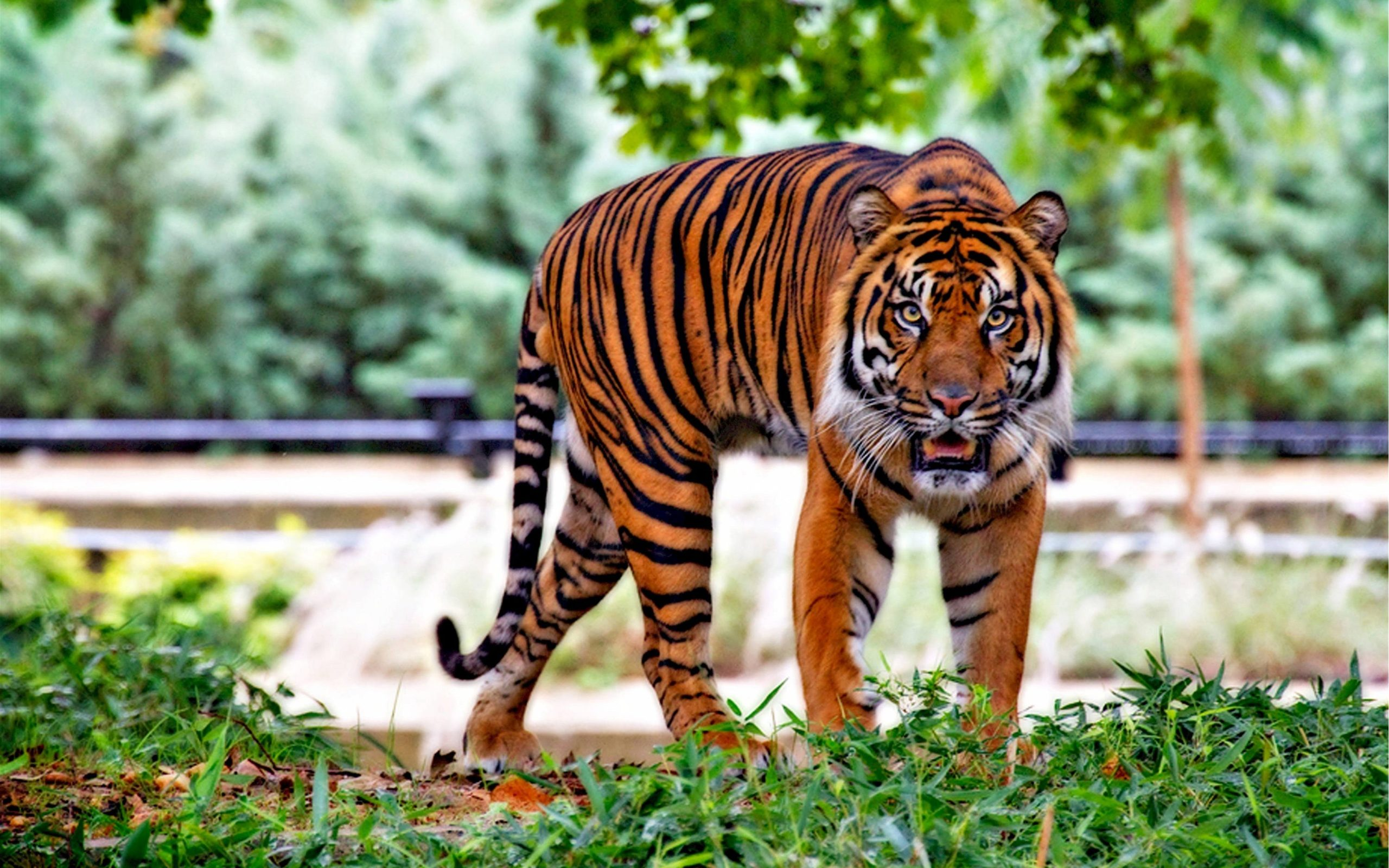 tiger picture hd