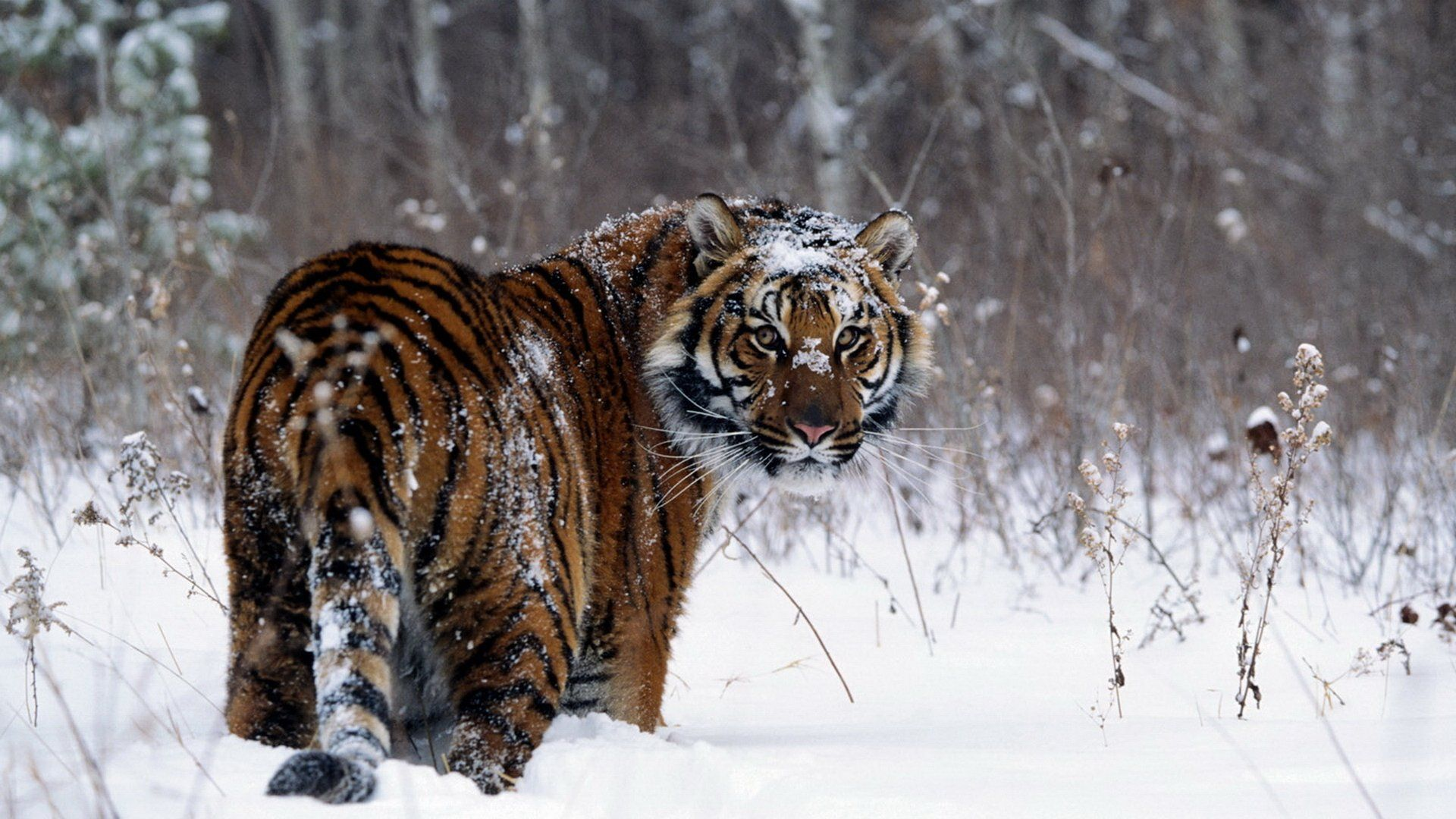 images of tiger