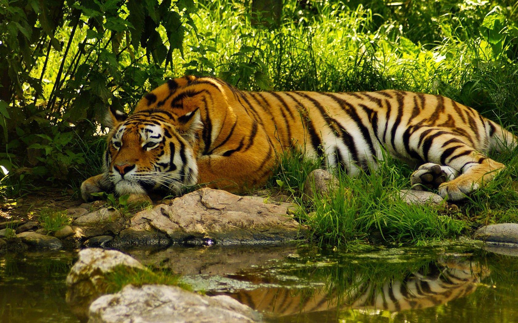 www.tiger image