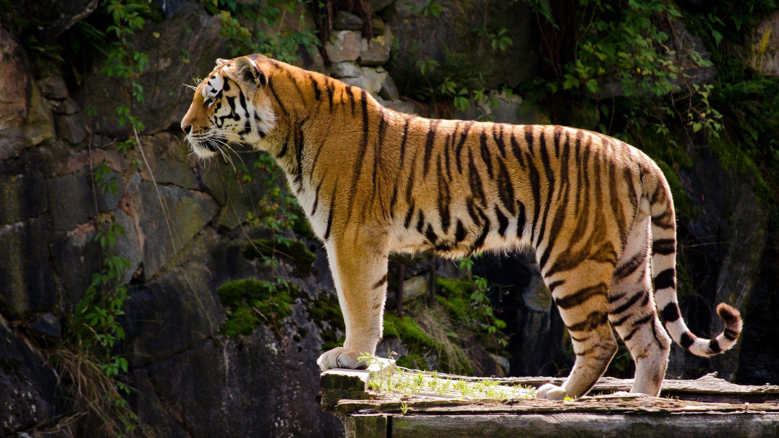 tigers photos hd