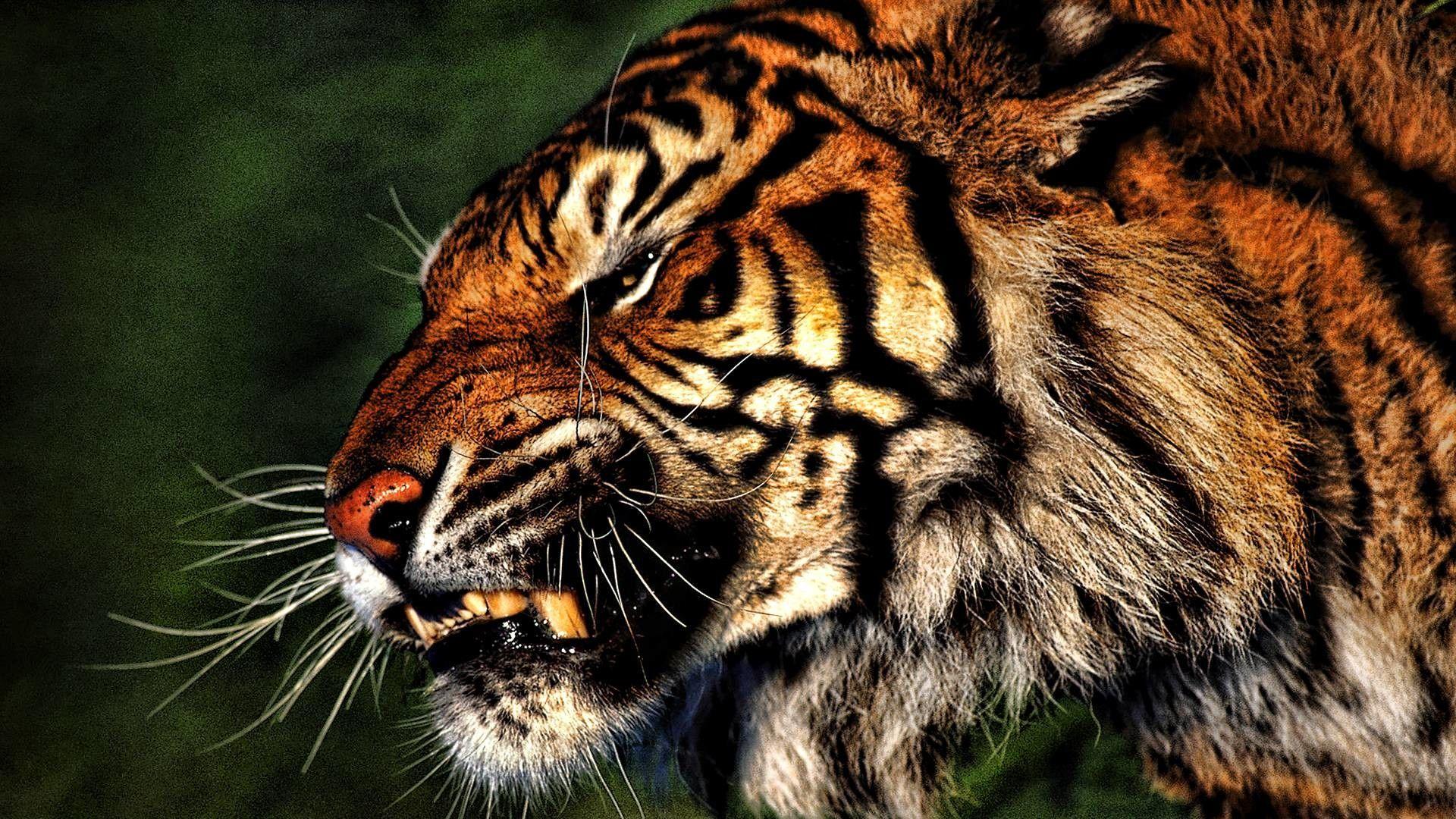 tiger images download