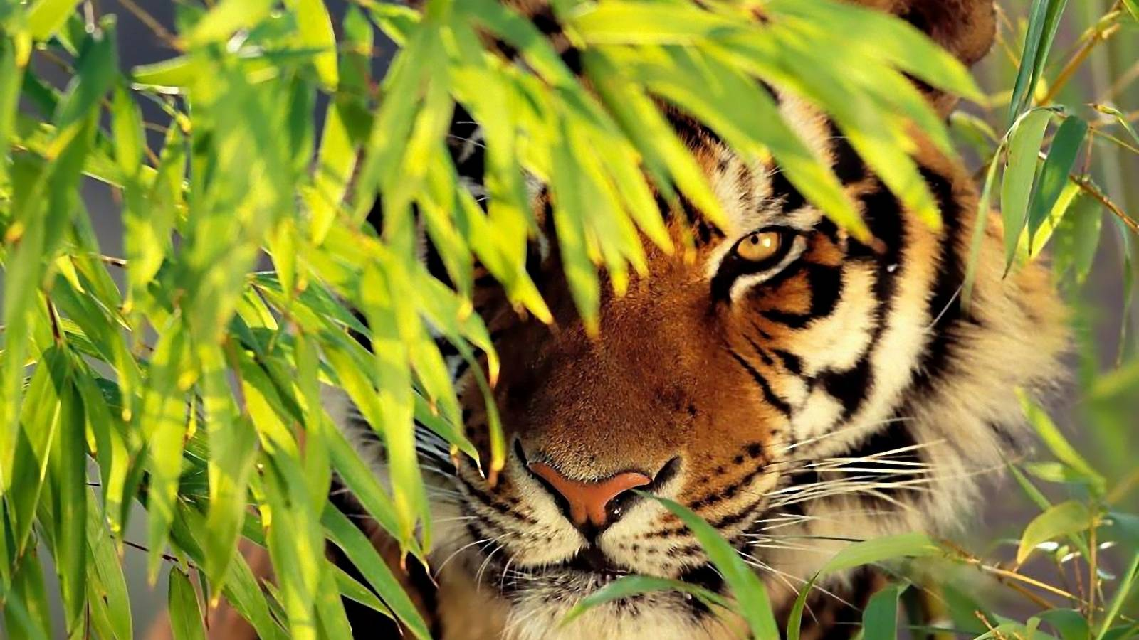 picture of tiger