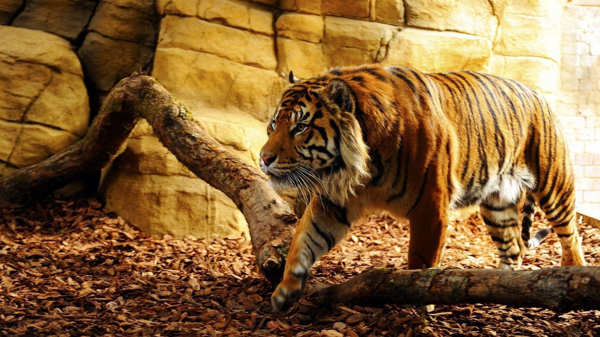 www tiger photo