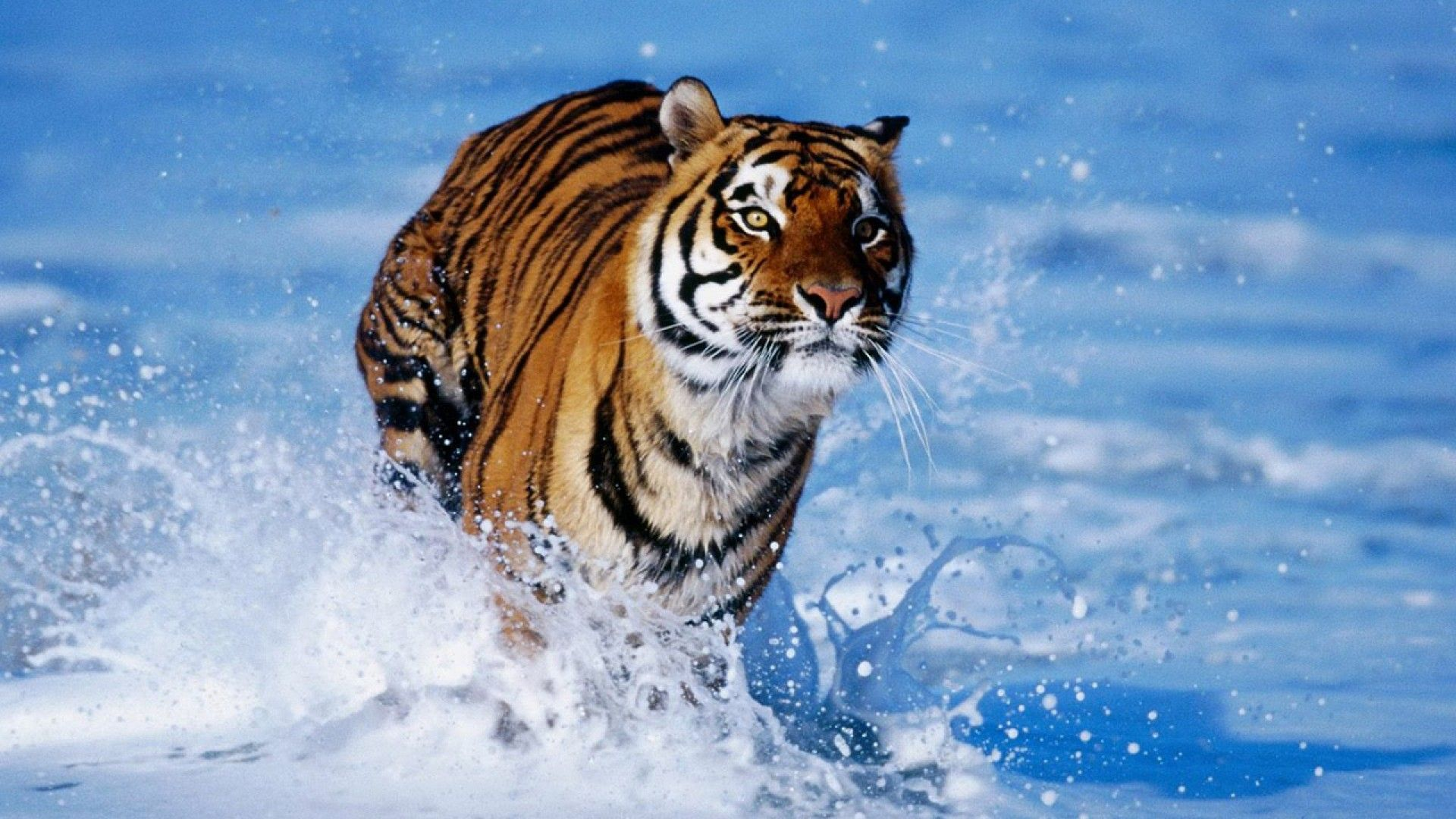 tiger image download