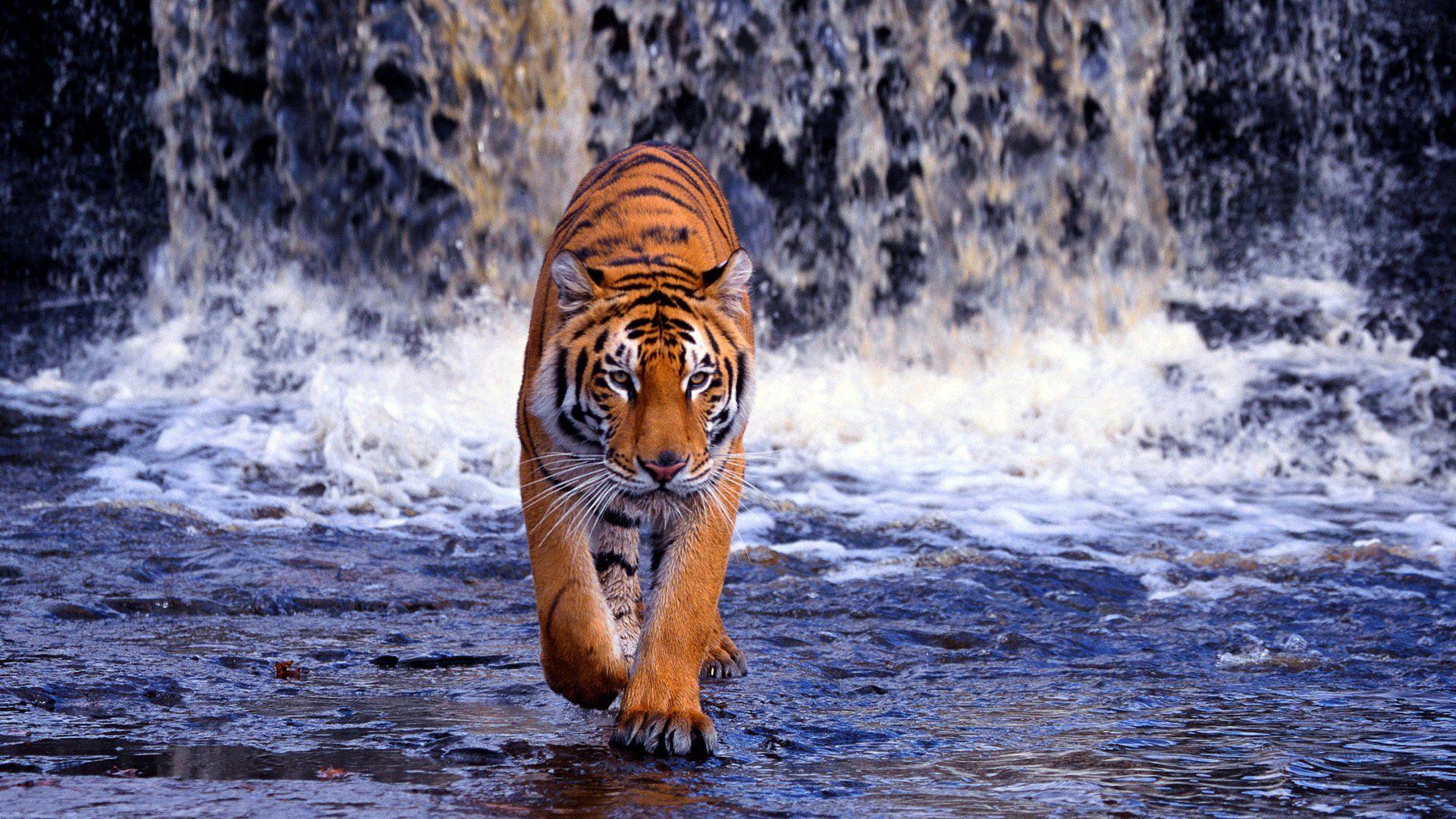 hd tiger photo