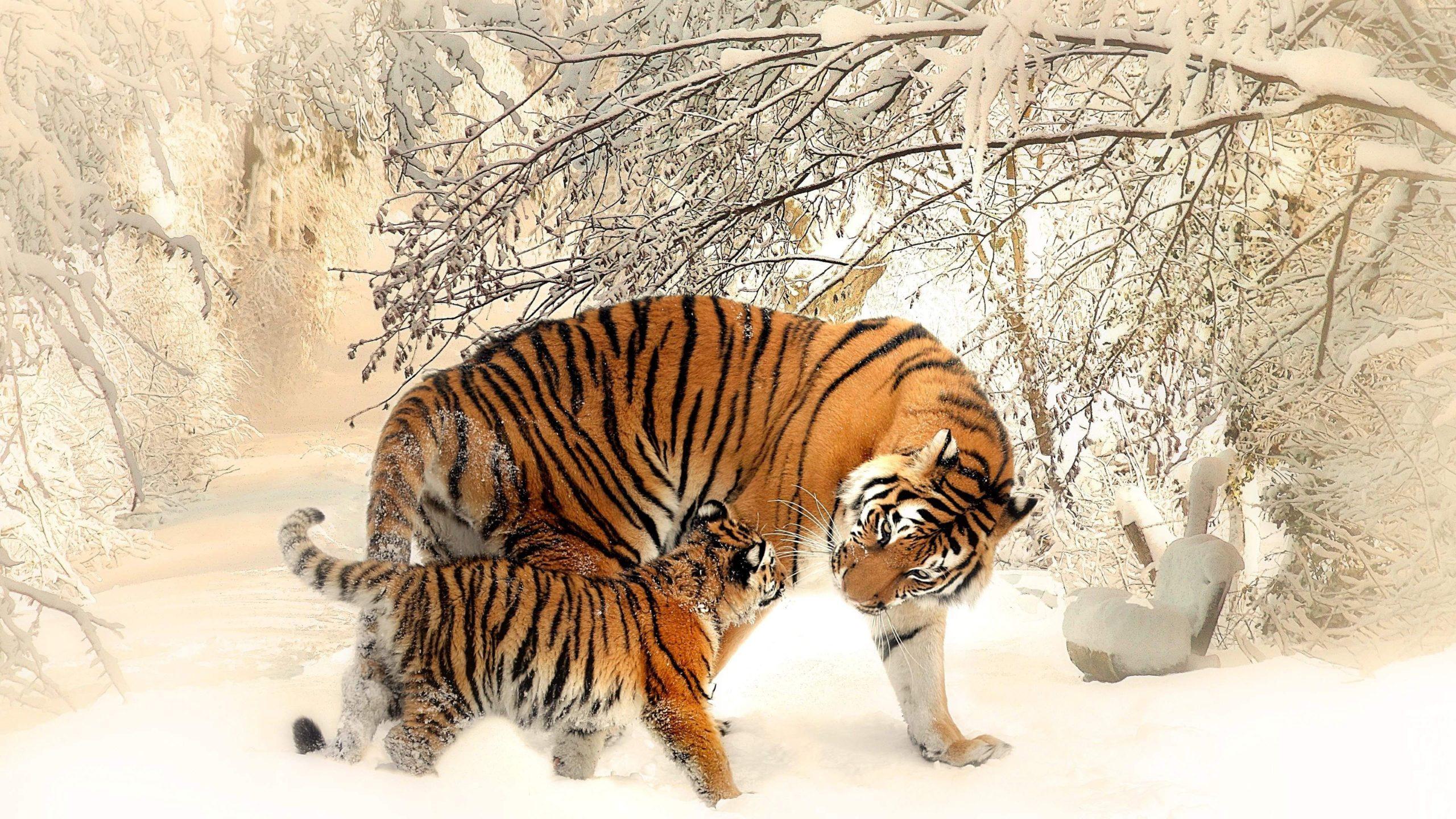 tiger hd wallpapers 1080p