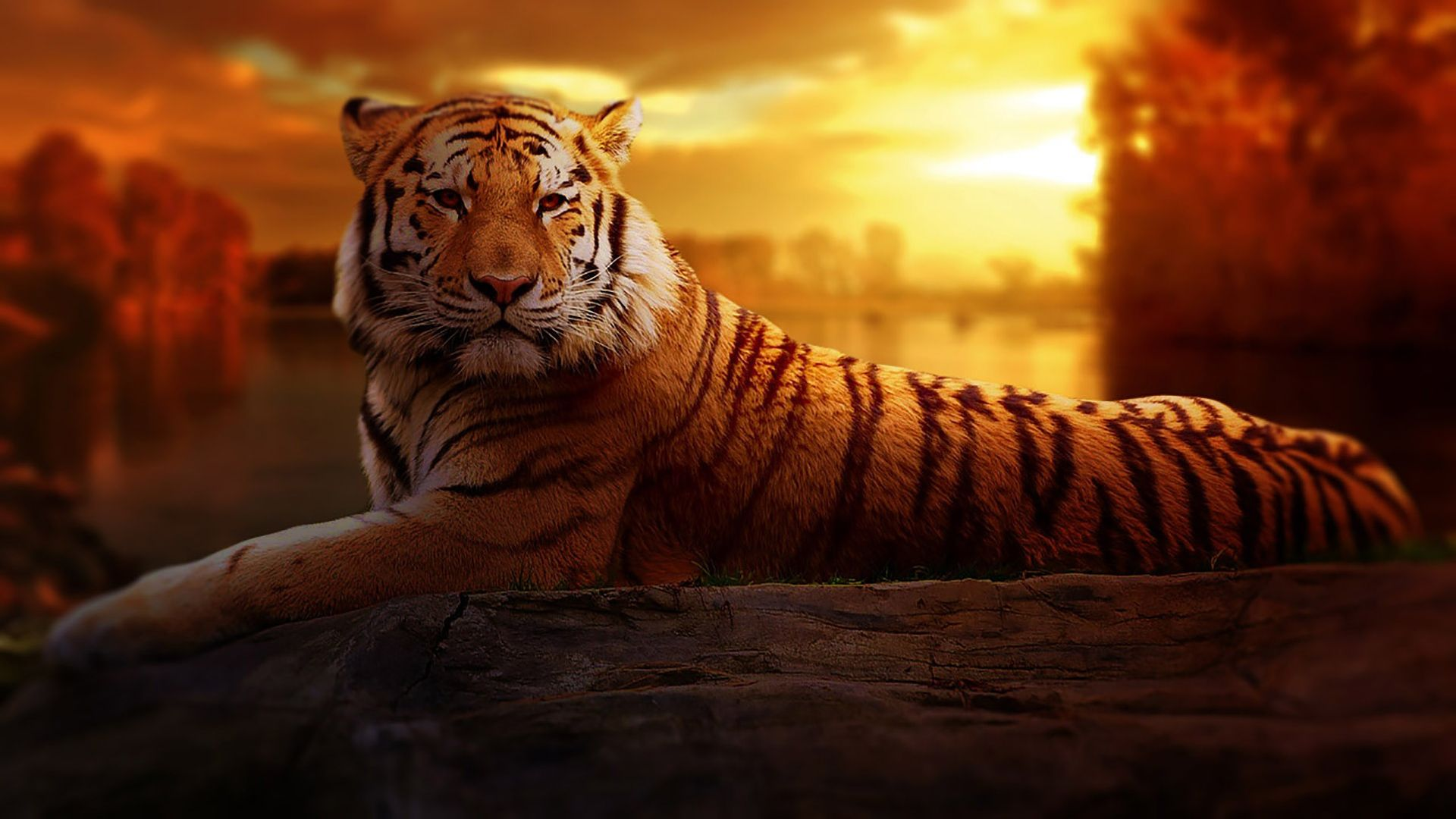 tiger picture download