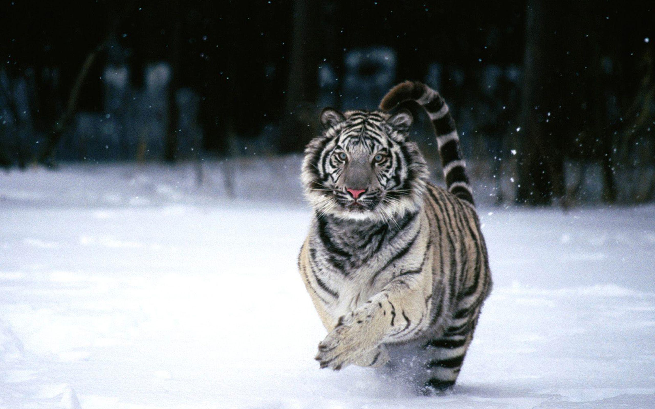 tiger photos download