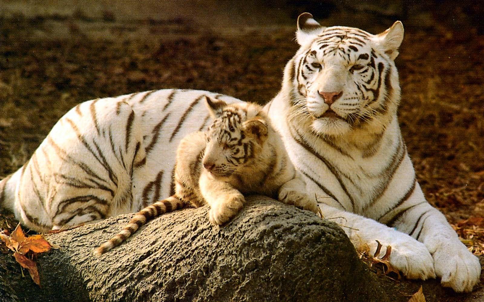 tiger photos hd download