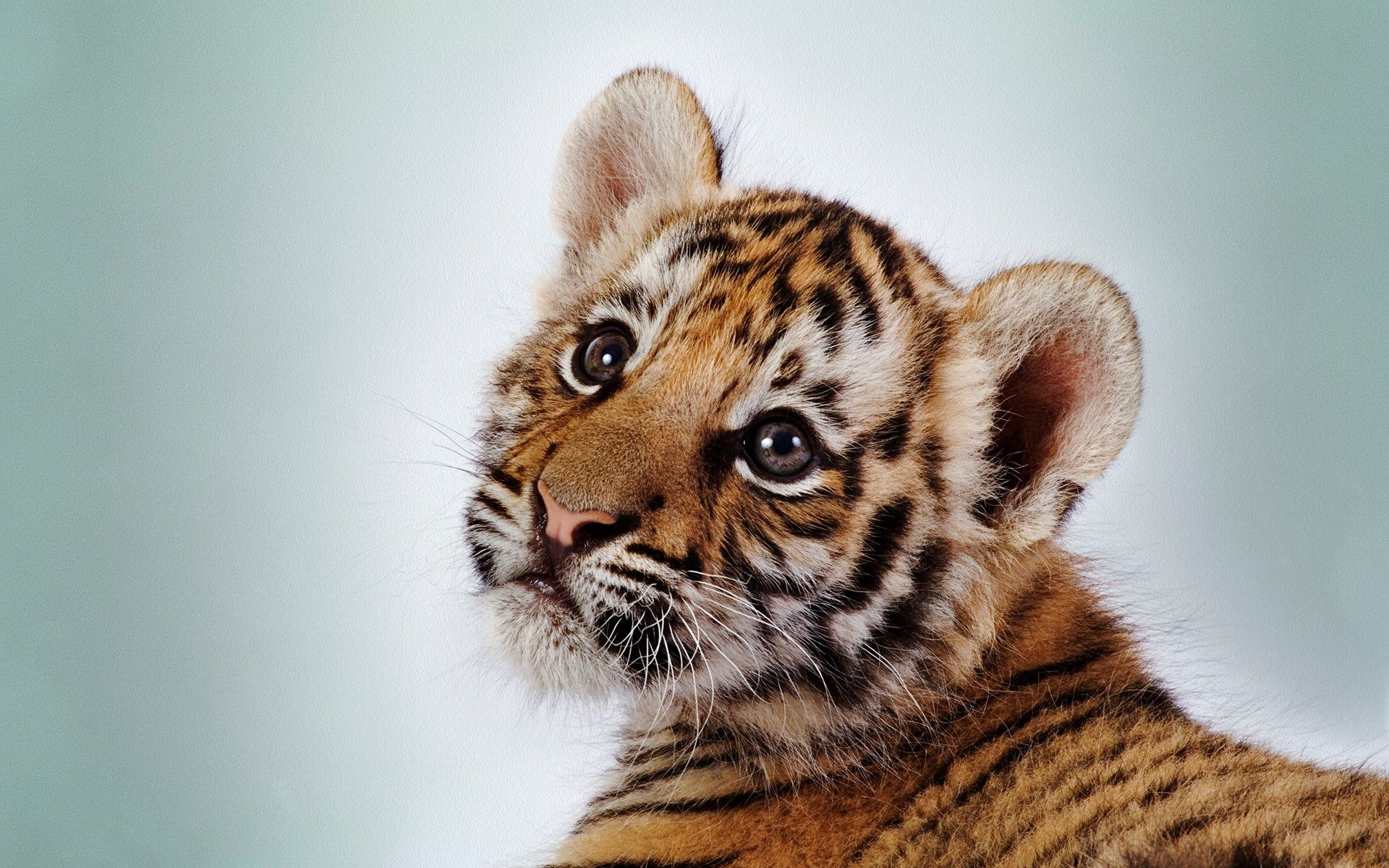 hd images of tiger