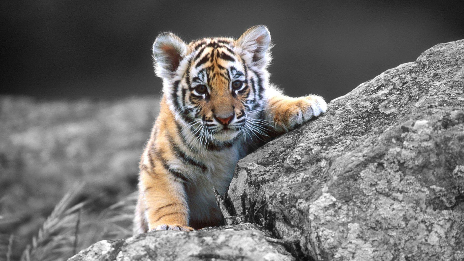 www tiger photo com