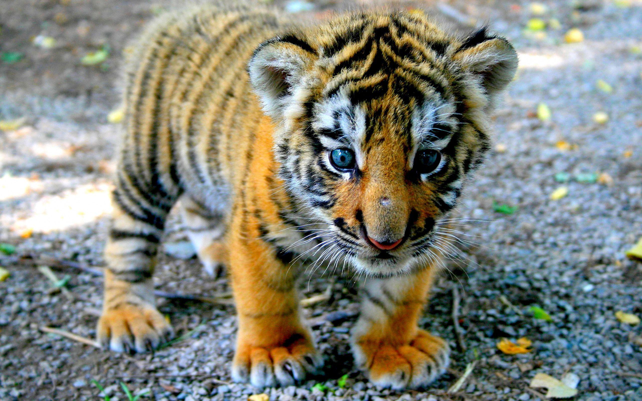 beautiful tiger wallpaper