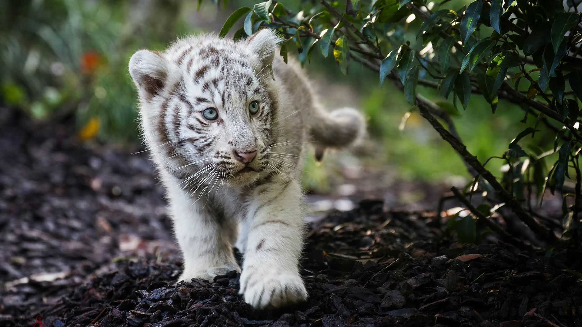 download tiger